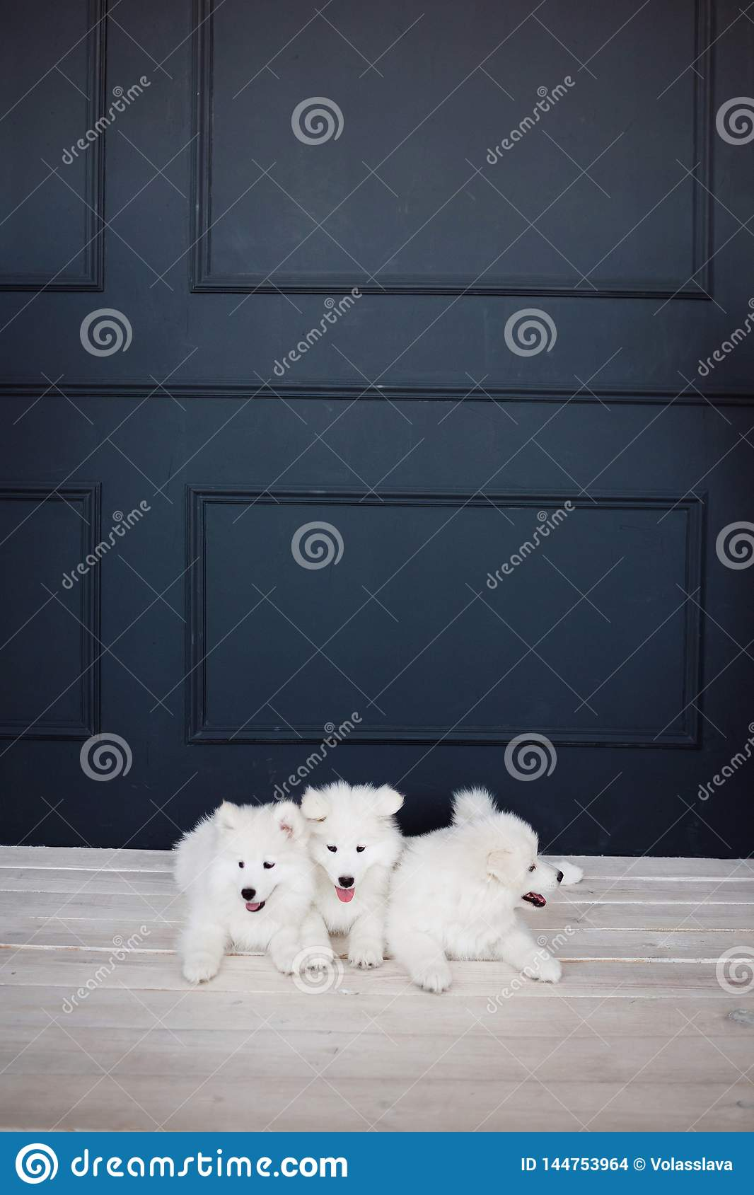 三白色蓬松萨莫耶特人小狗