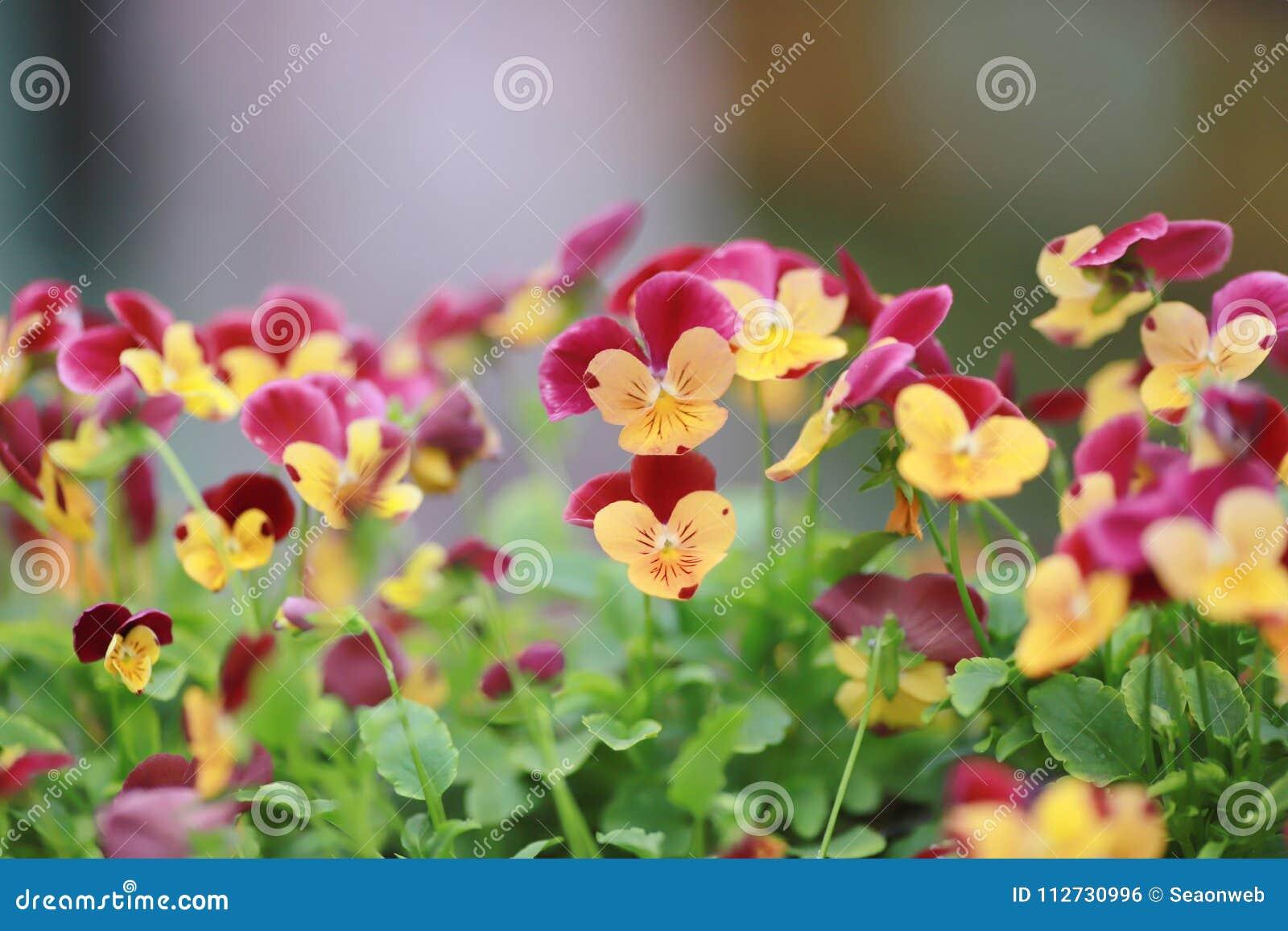 三色蝴蝶花花植物自然后面地面,