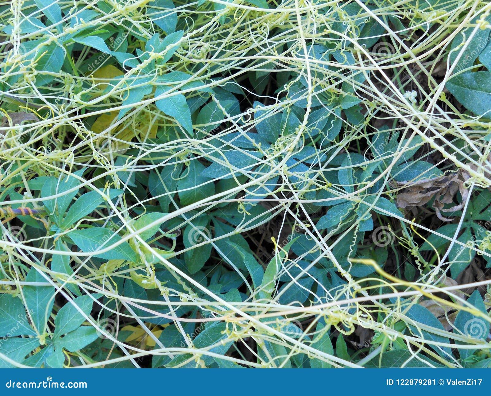 上升的卷须植物,掌状有裂片的叶子