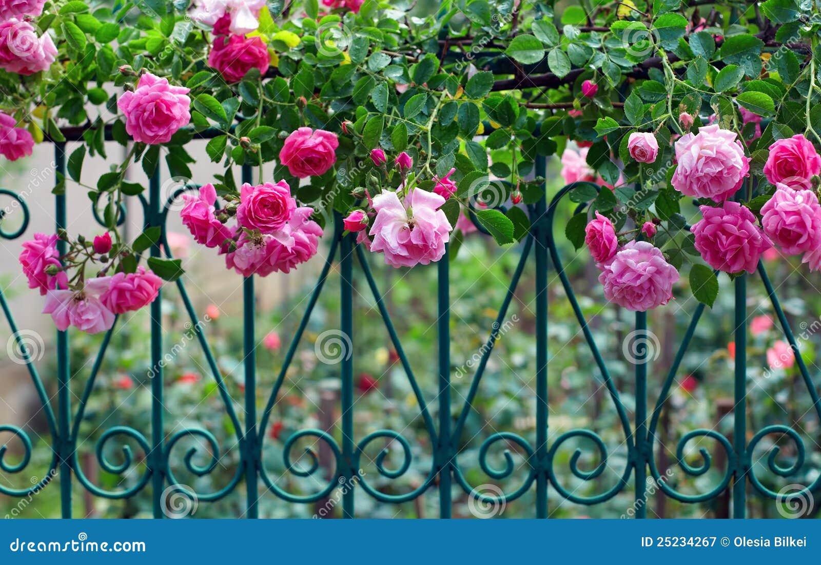 上升的范围伪造的庭院粉红色上升了