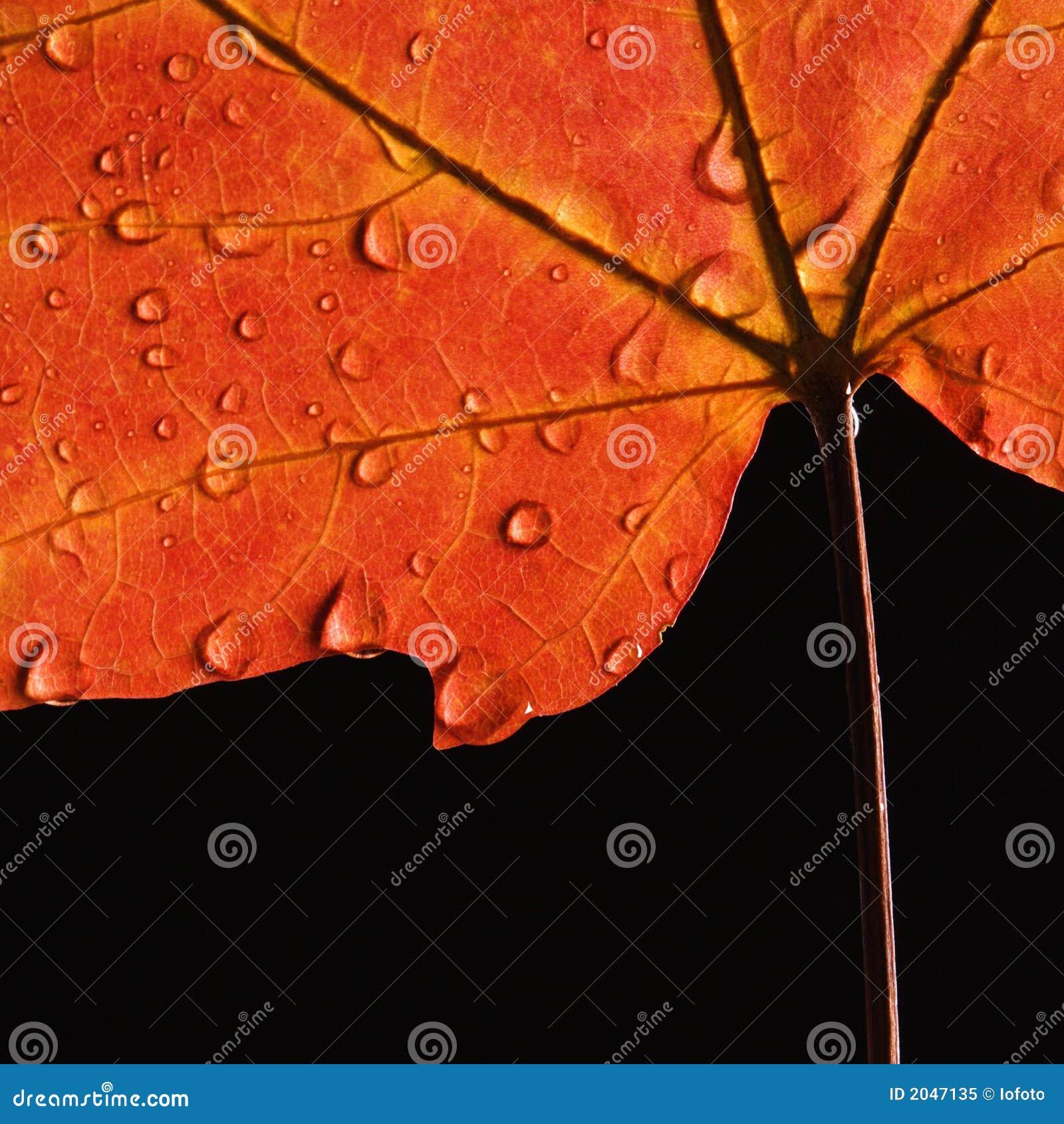 下落叶子槭树水