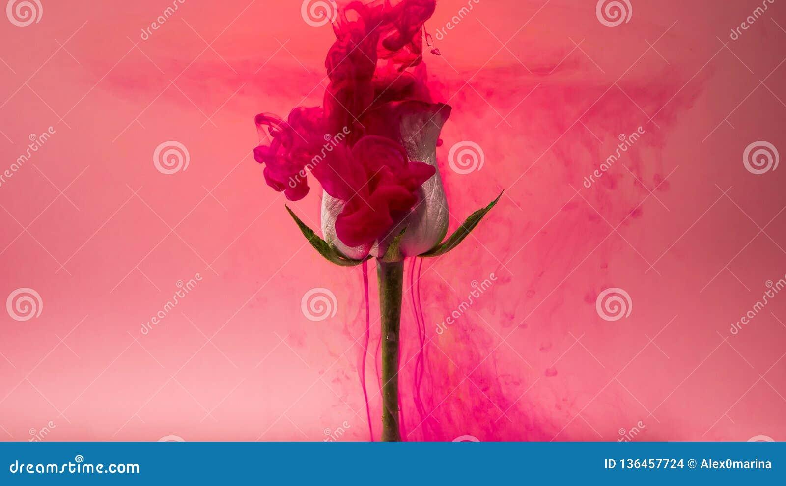 下跌在一朵美丽的白色玫瑰的五颜六色的下落反对桃红色背景