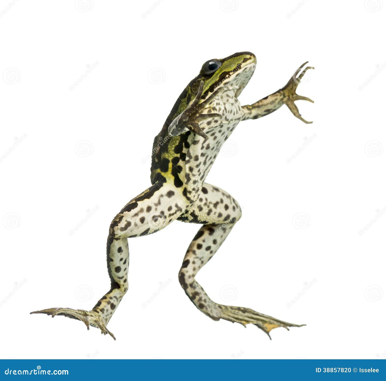 从下面被观看的可食的青蛙,游泳, pelophylax kl.图片