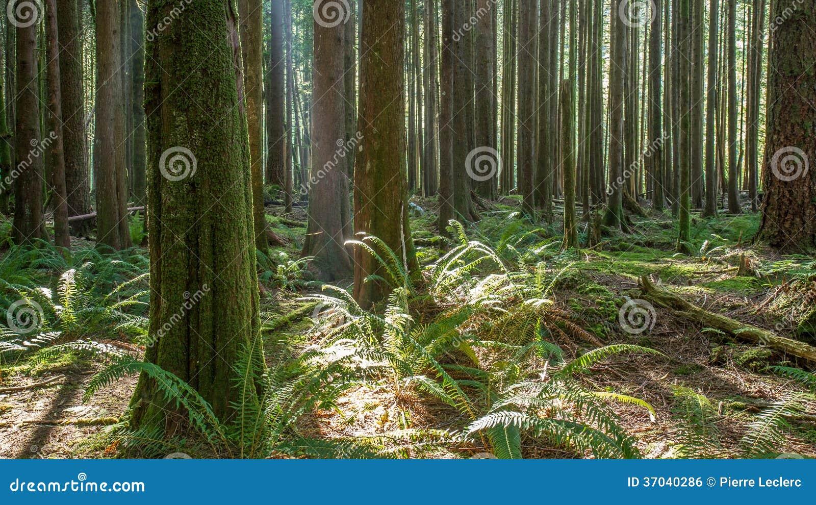 不列颠哥伦比亚省森林