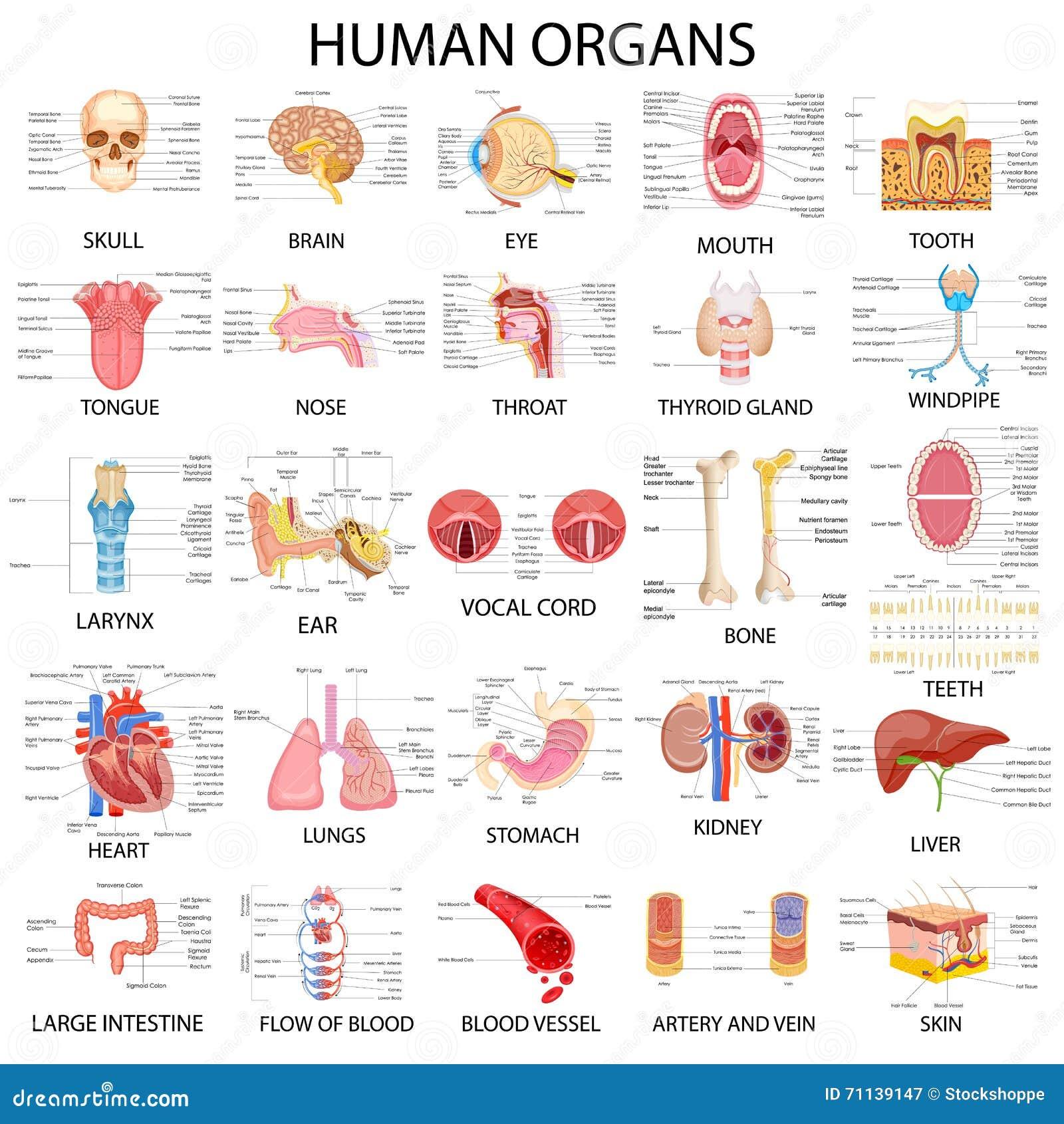 不同的人体器官图