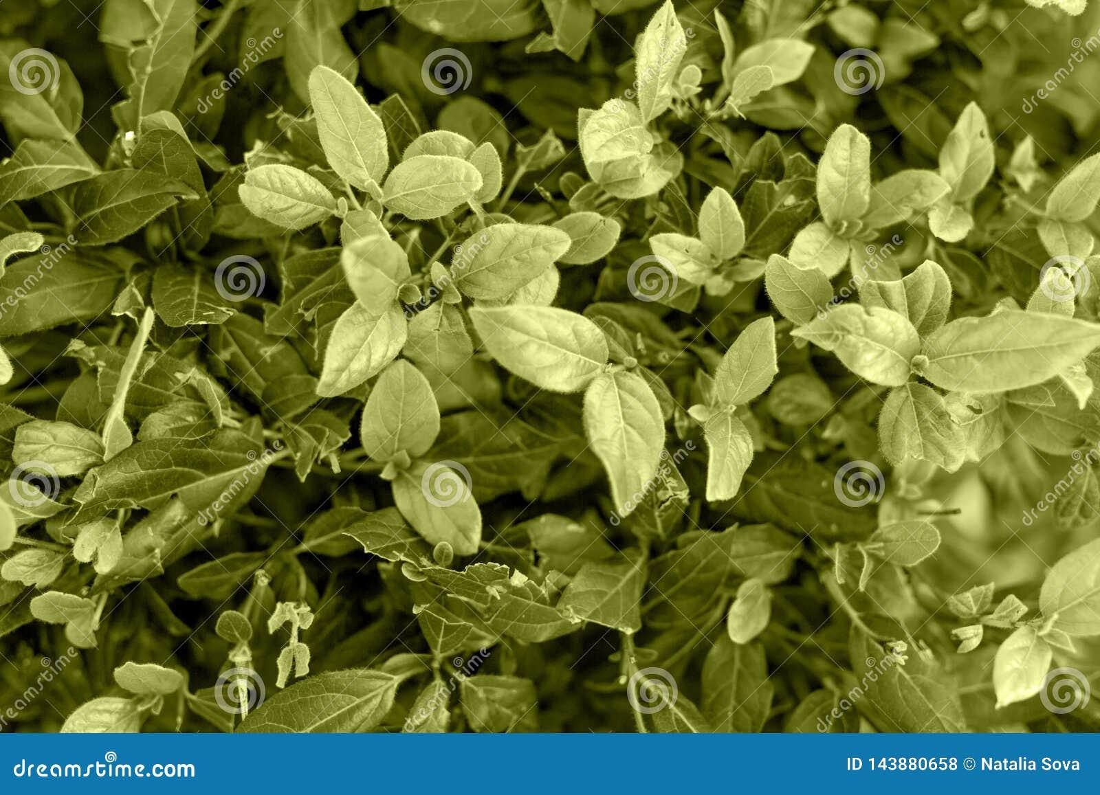 不同的树荫深绿叶子纹理