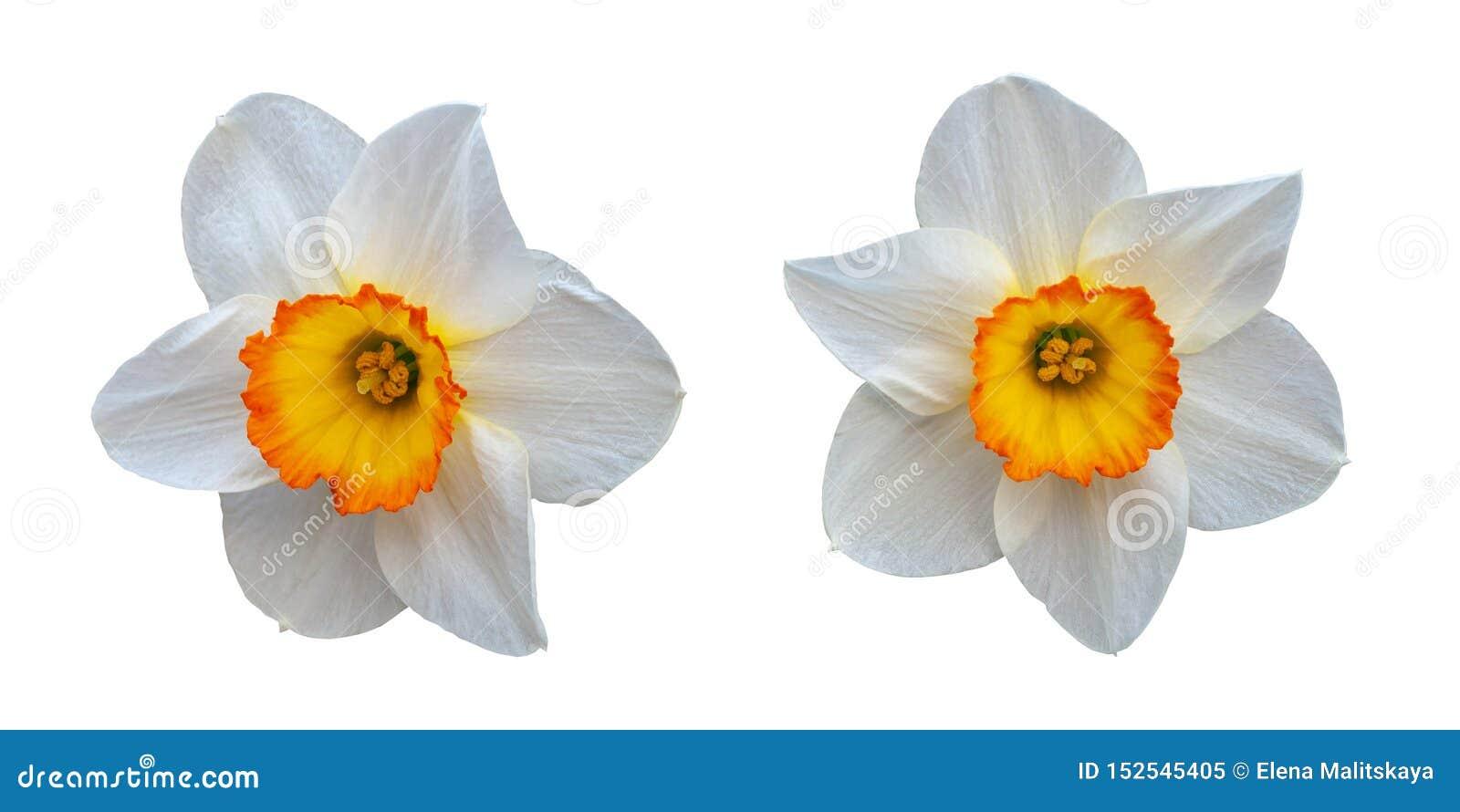与一个黄色中心的两个美丽的白色黄水仙