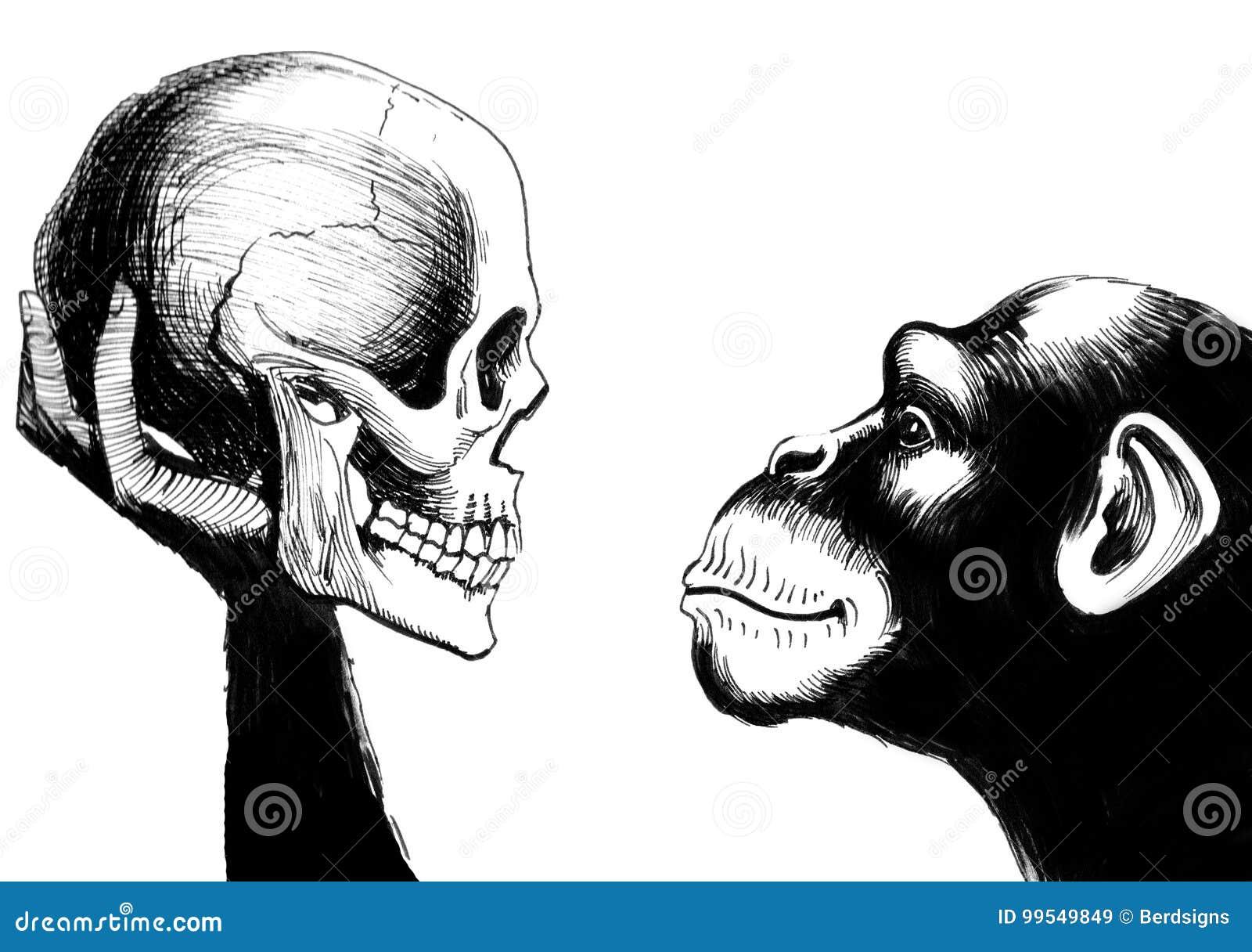 与一块人的头骨的黑猩猩