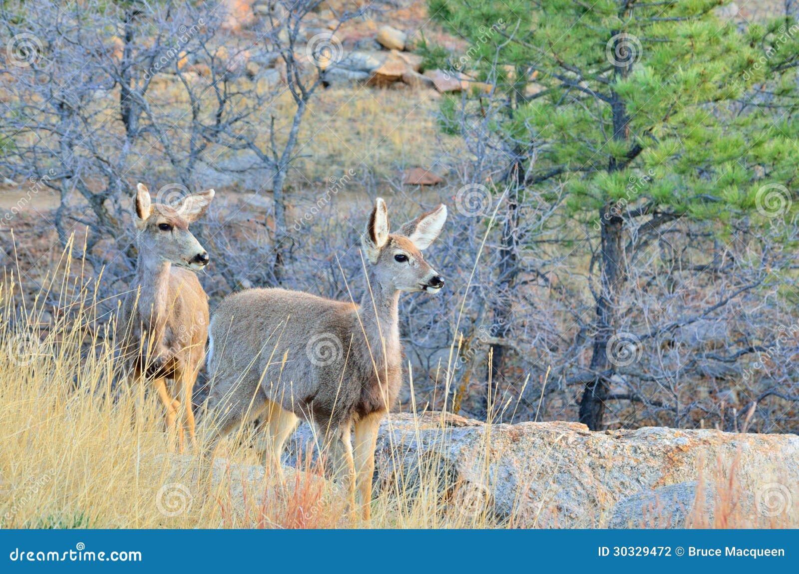 与一岁的长耳鹿母鹿