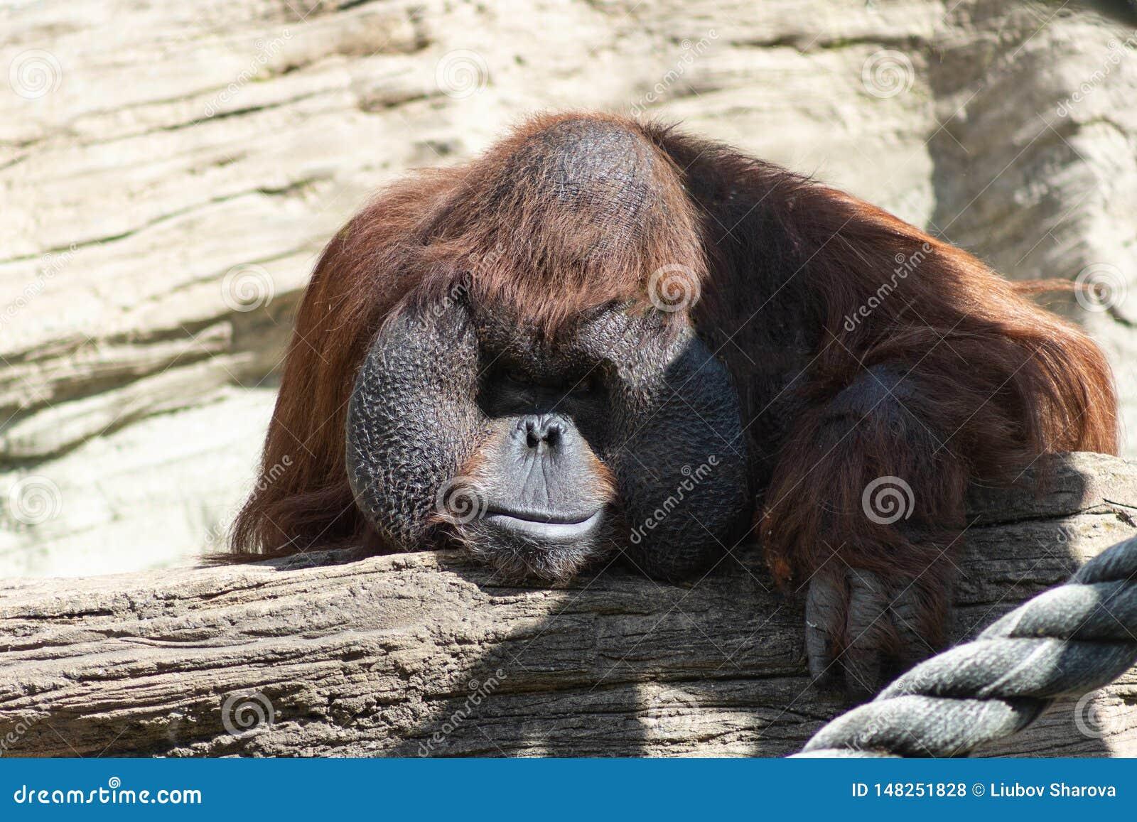 与一张滑稽的面孔的懒惰观看发生了什么的一只沉思橙色猩猩的画象