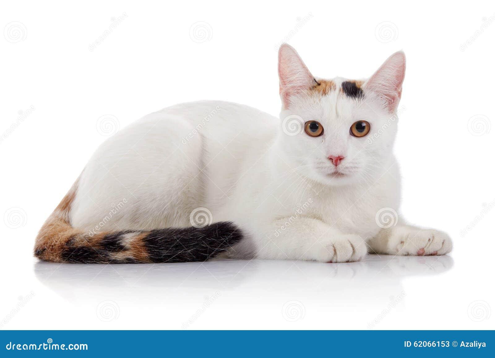 与一条多彩多姿的镶边尾巴的白色家猫
