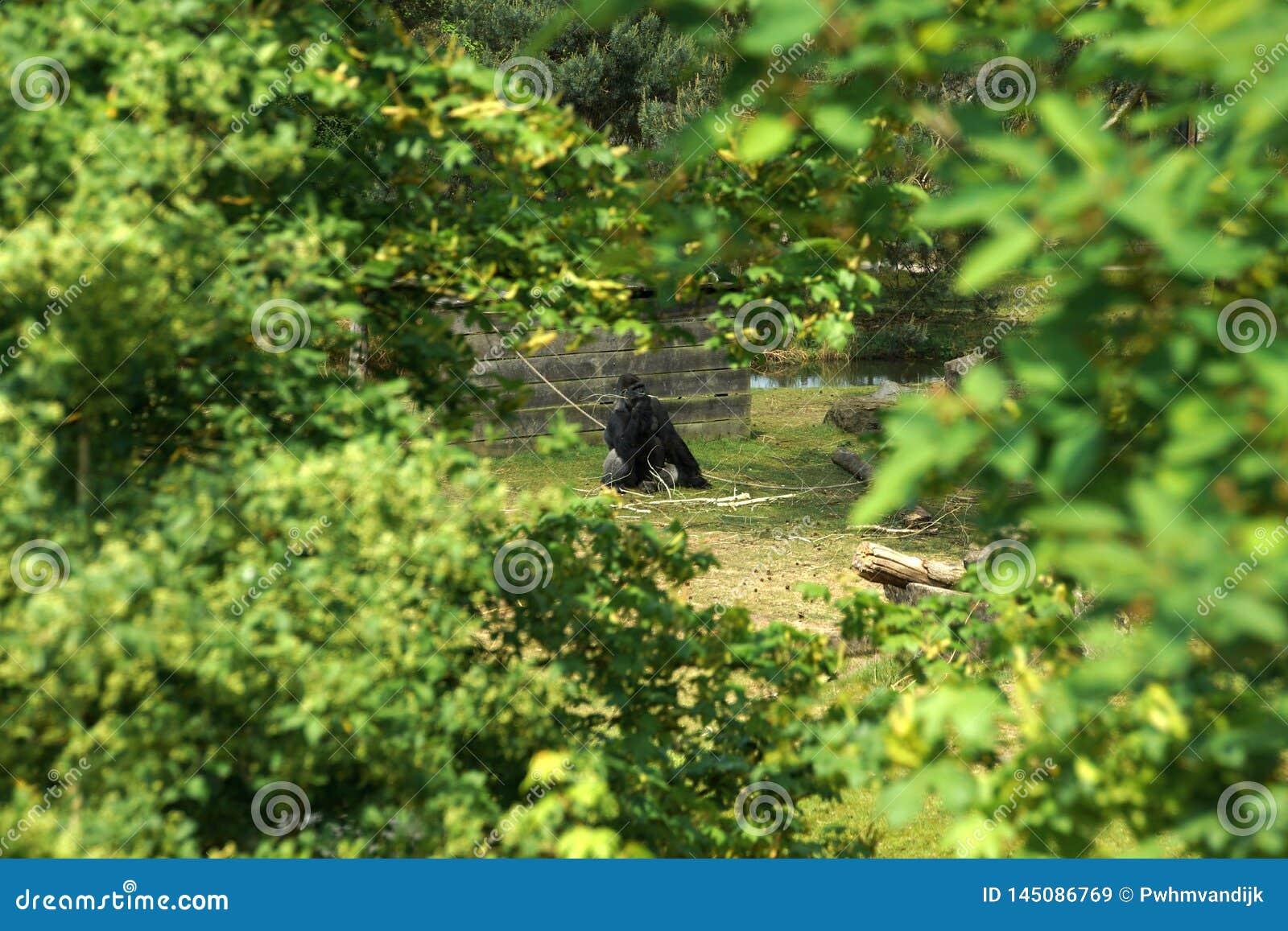 与一根枝杈的孤独的大猩猩在他的嘴