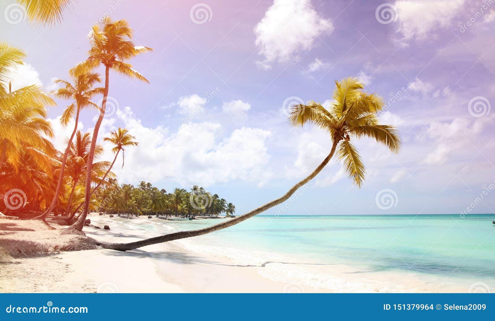 与一根长的树干的一棵棕榈树在前景垂悬在含沙岸 在沈默、休息和天堂附近的加勒比海岸