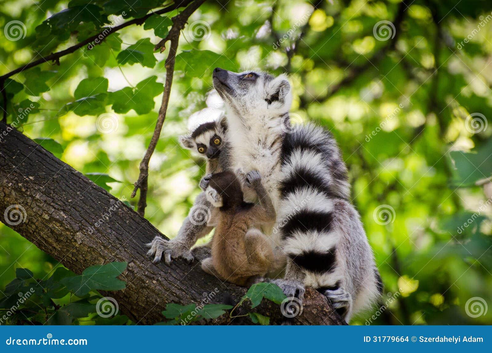 与两个婴孩的环纹尾的狐猴