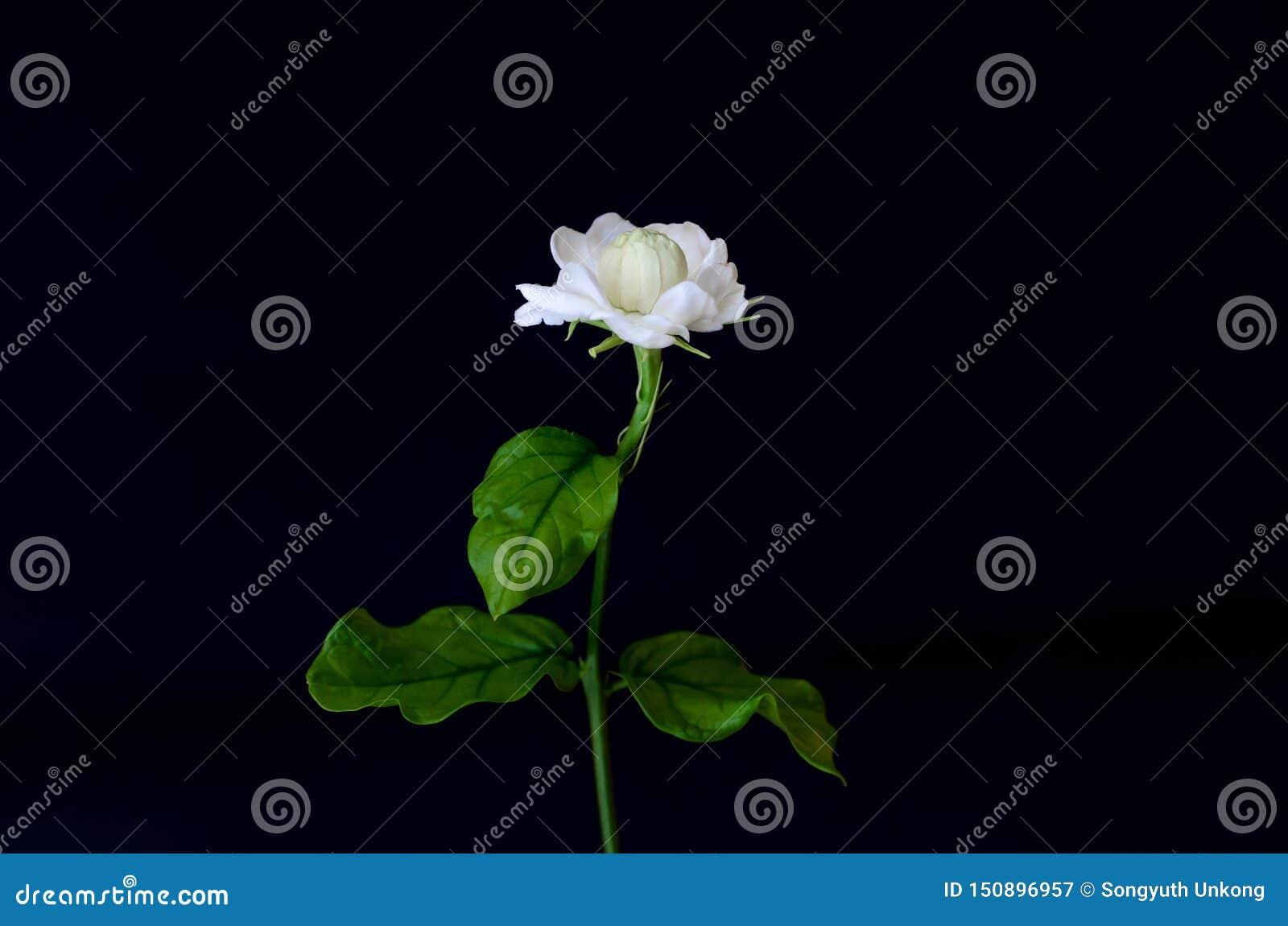 与为在黑色和茶使用隔绝的芳香的它的叶子的唯一美丽的新鲜的白色泰国茉莉属花从庭院