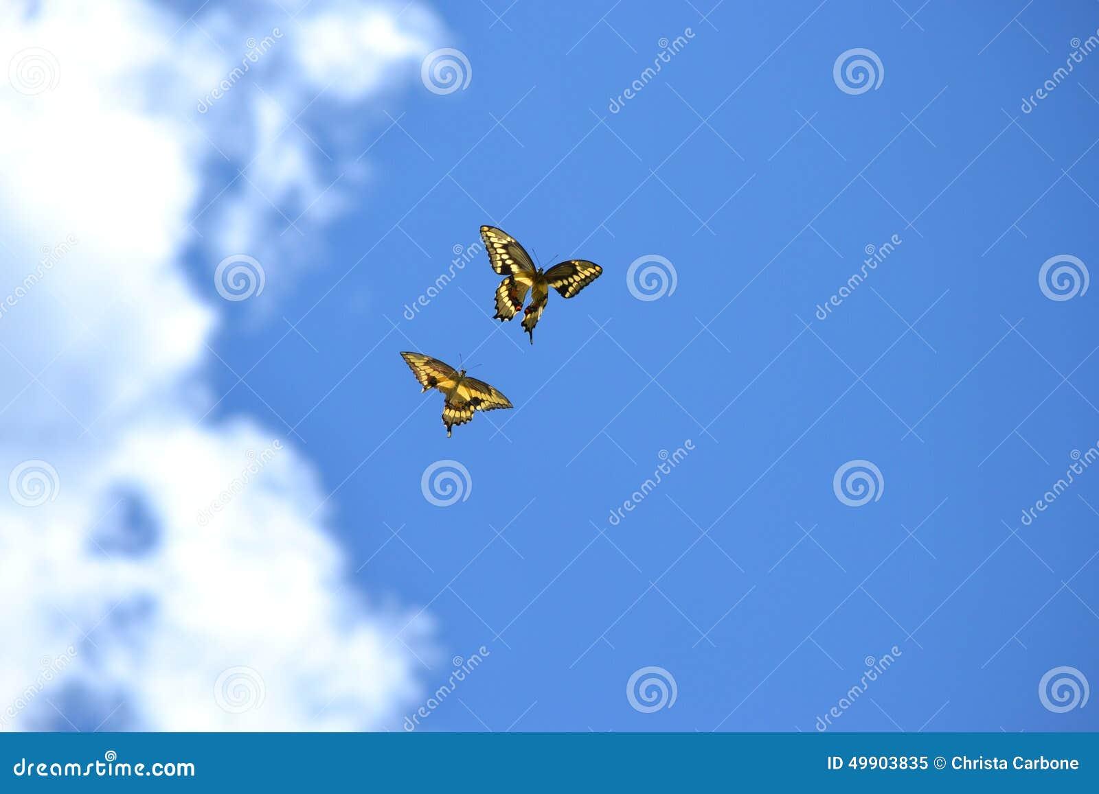 与享用一朵明亮的蓝天和松的云彩的障碍的两只蝴蝶一图片
