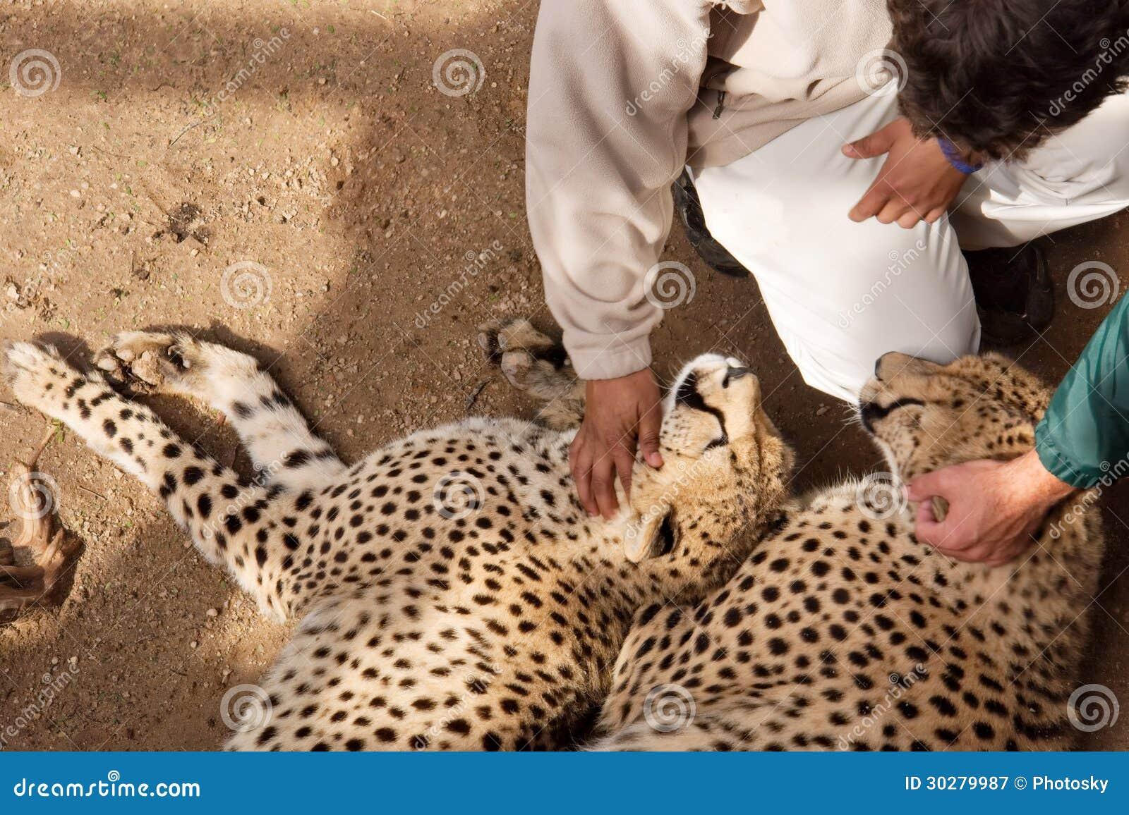 与人的二头猎豹