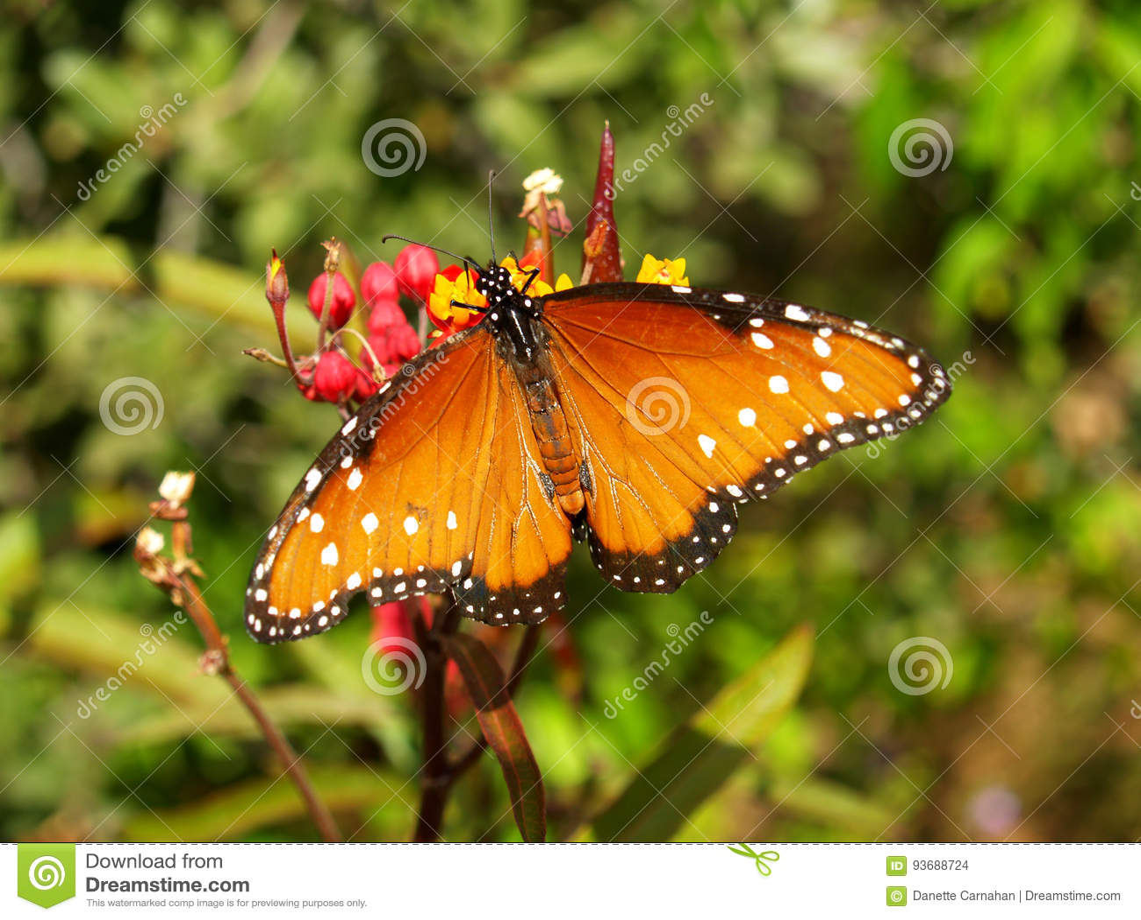 与充分的翼展的女王蝴蝶
