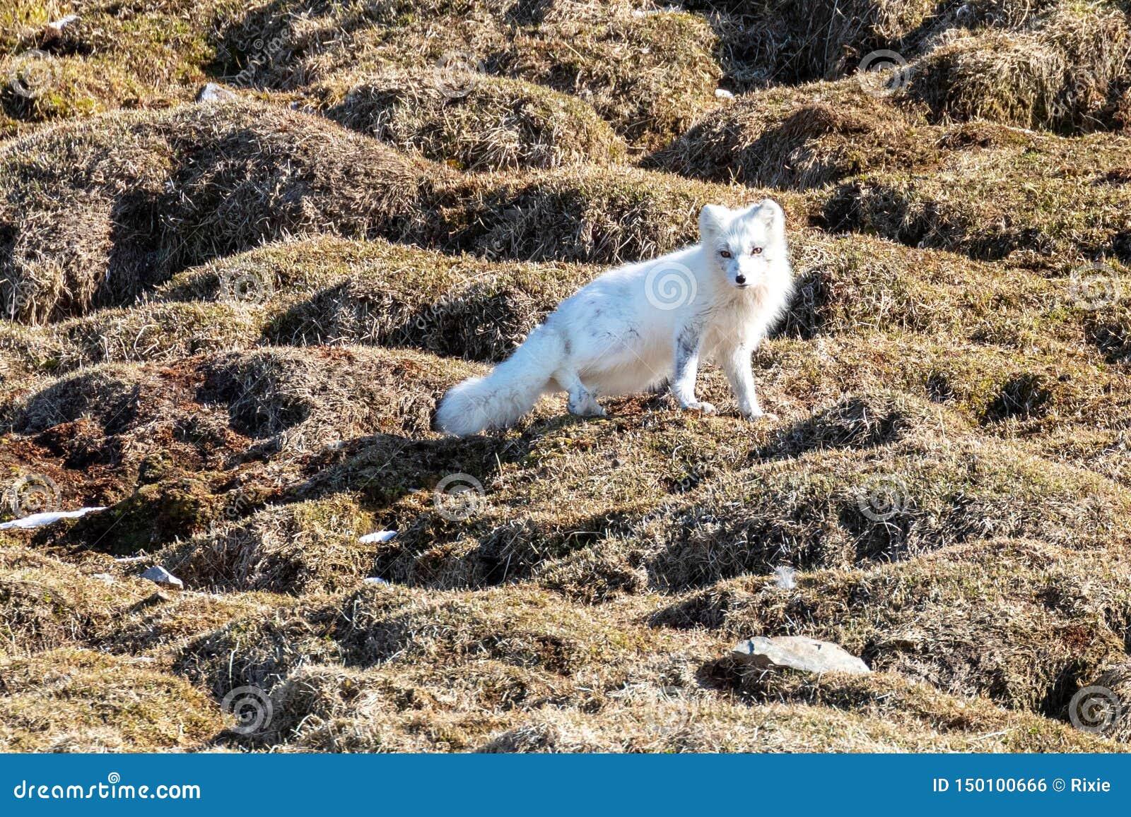 与冬天外套的北冰的狐狸在斯瓦尔巴特群岛