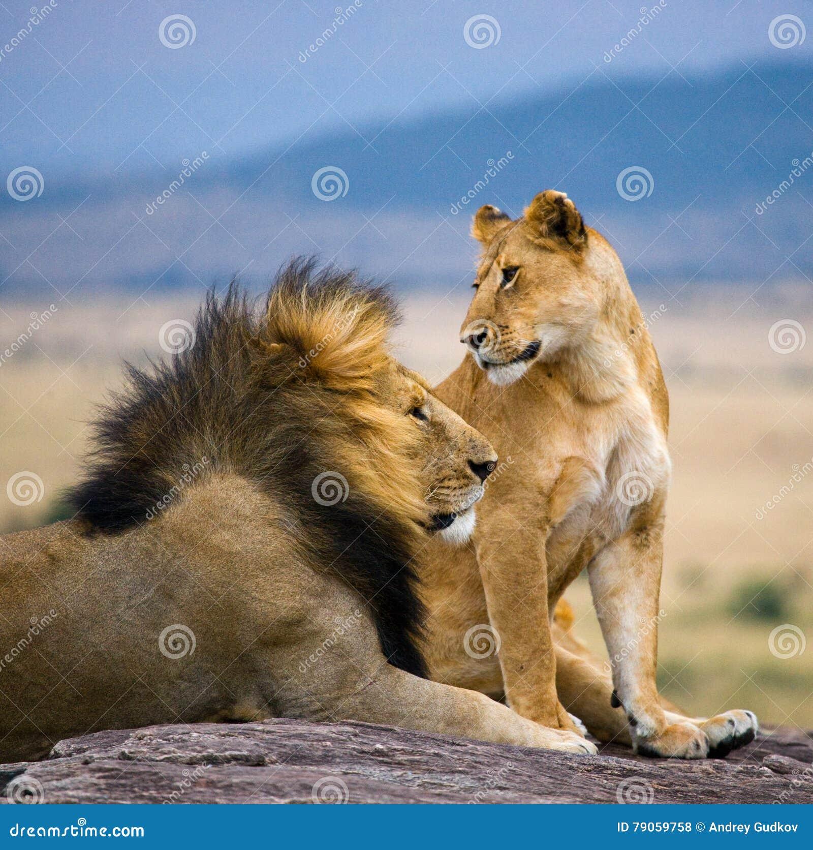 与华美的鬃毛和雌狮的大公狮子在一个大岩石 国家公园 肯尼亚 坦桑尼亚 mara马塞语 serengeti