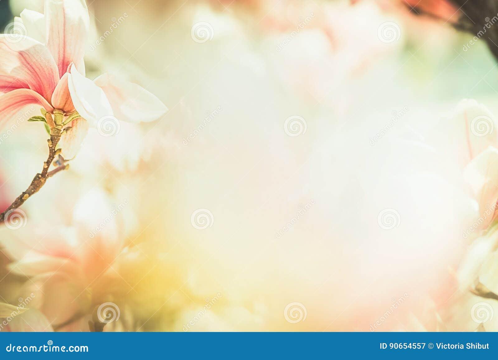 与可爱的木兰开花,框架,春天自然,淡色的春天花卉自然背景