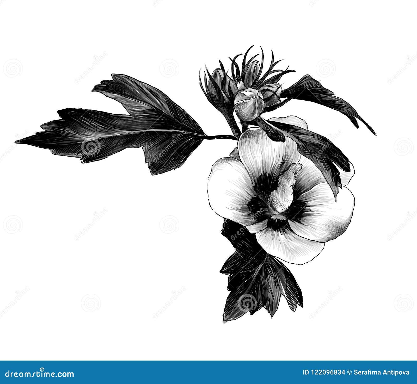 与叶子的木槿芽西伯利亚花