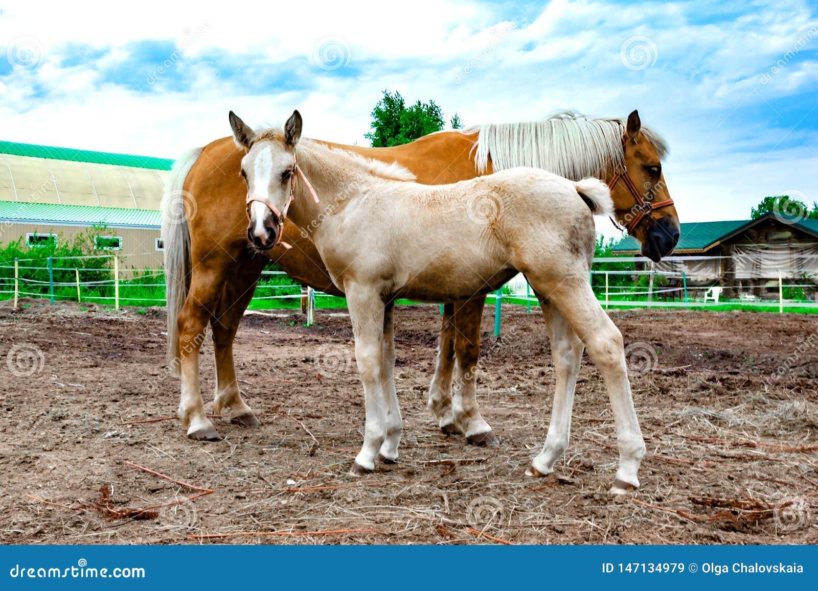 与吃草一只幼小的驹的红色马 ??