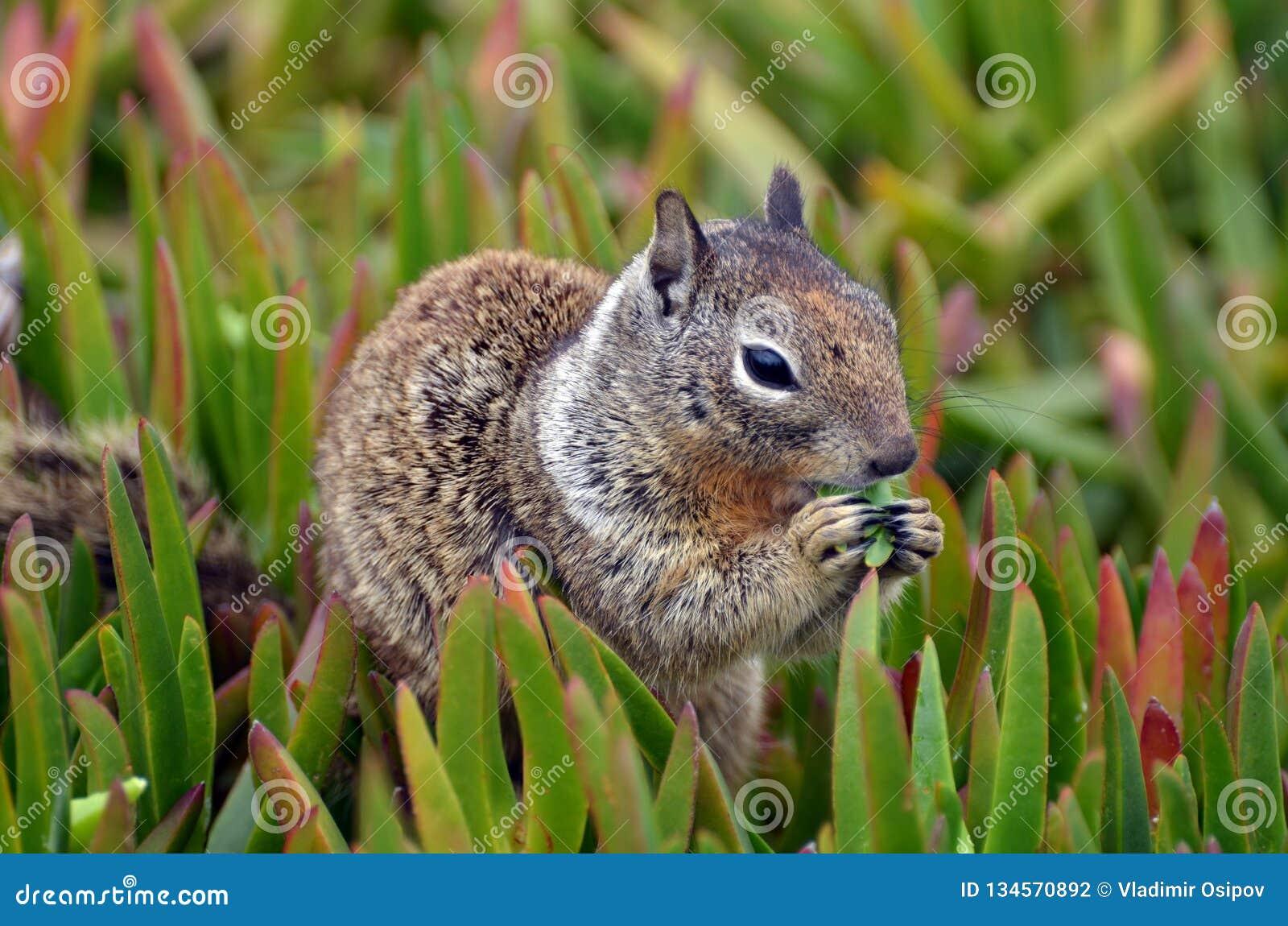 与名为Spermophilus beecheyi的各种各样的毛皮的一个特写镜头蓬松动物吃着草水多的一束