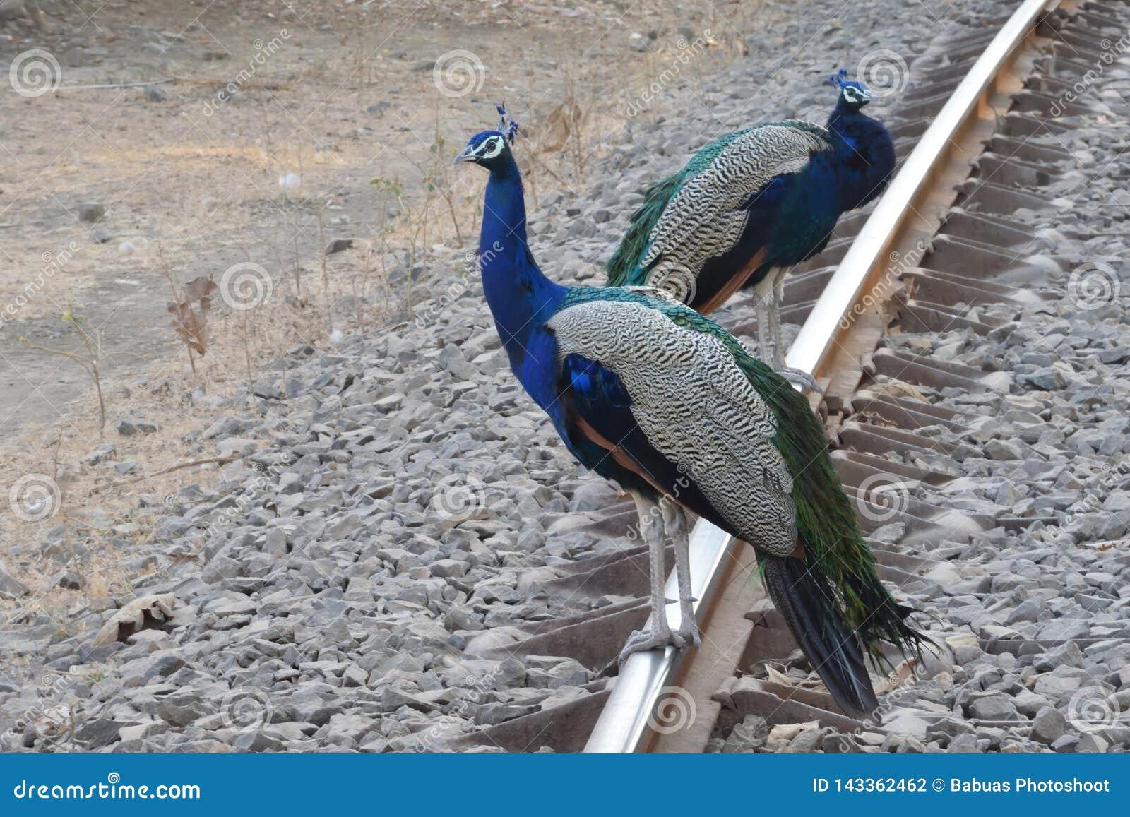 与呈虹彩颜色的印度孔雀