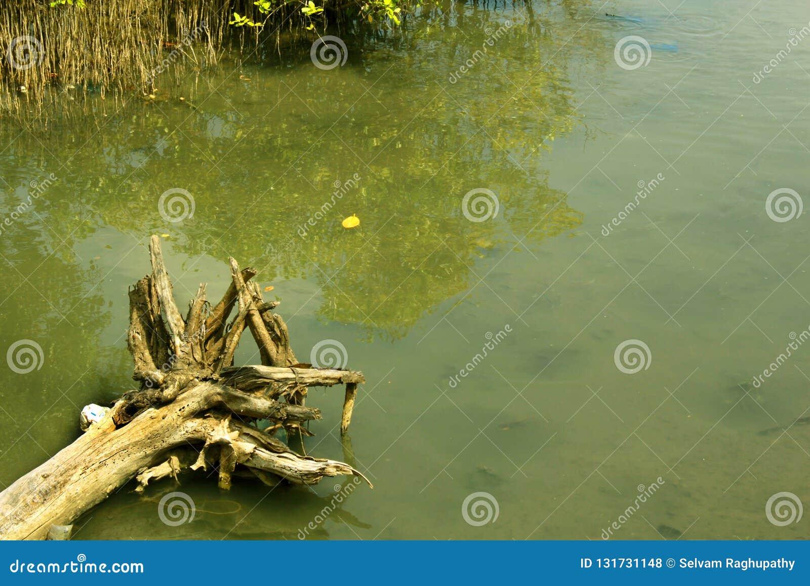 与回水河的干死的树根