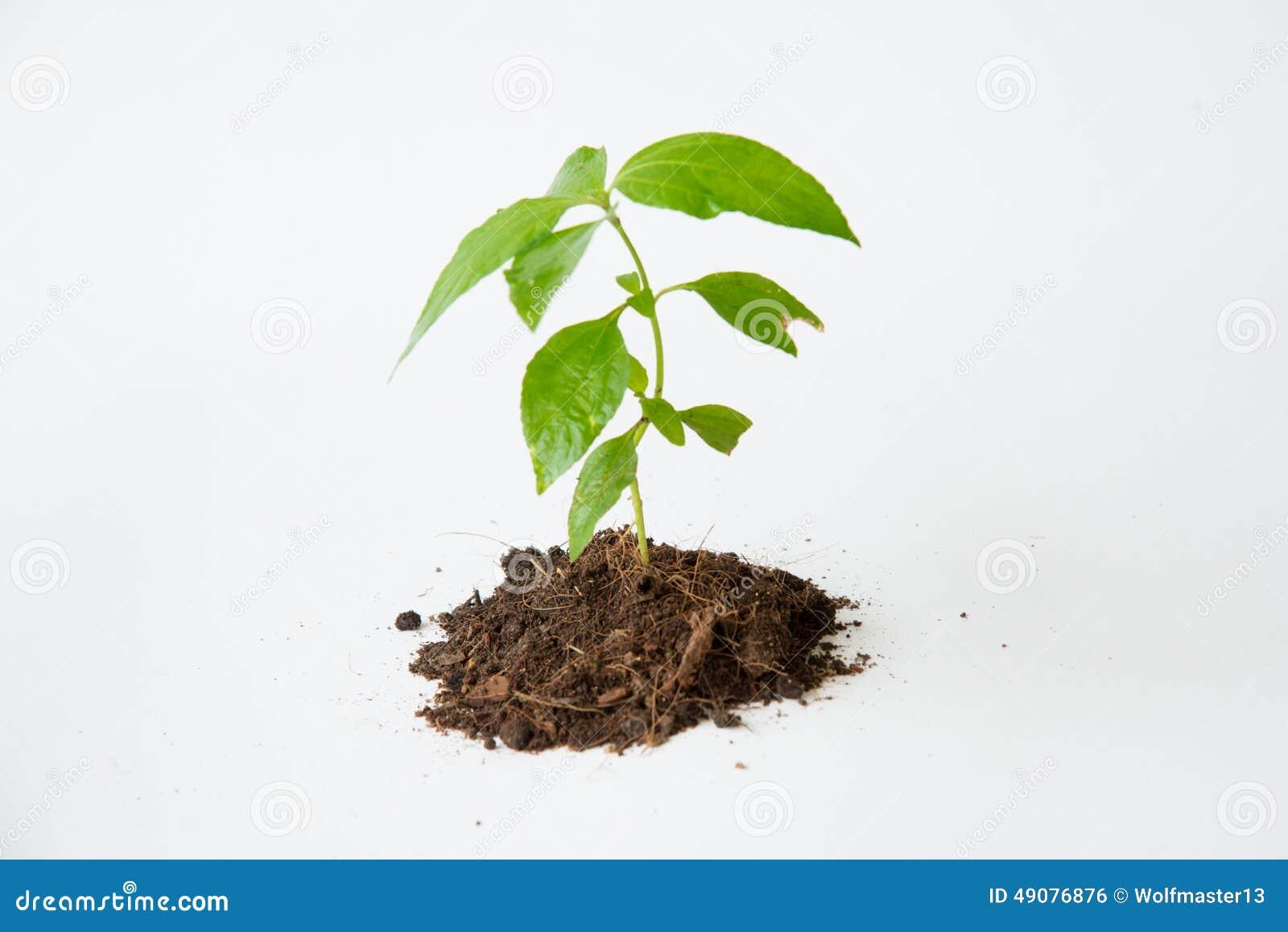 与土壤生长的一点树