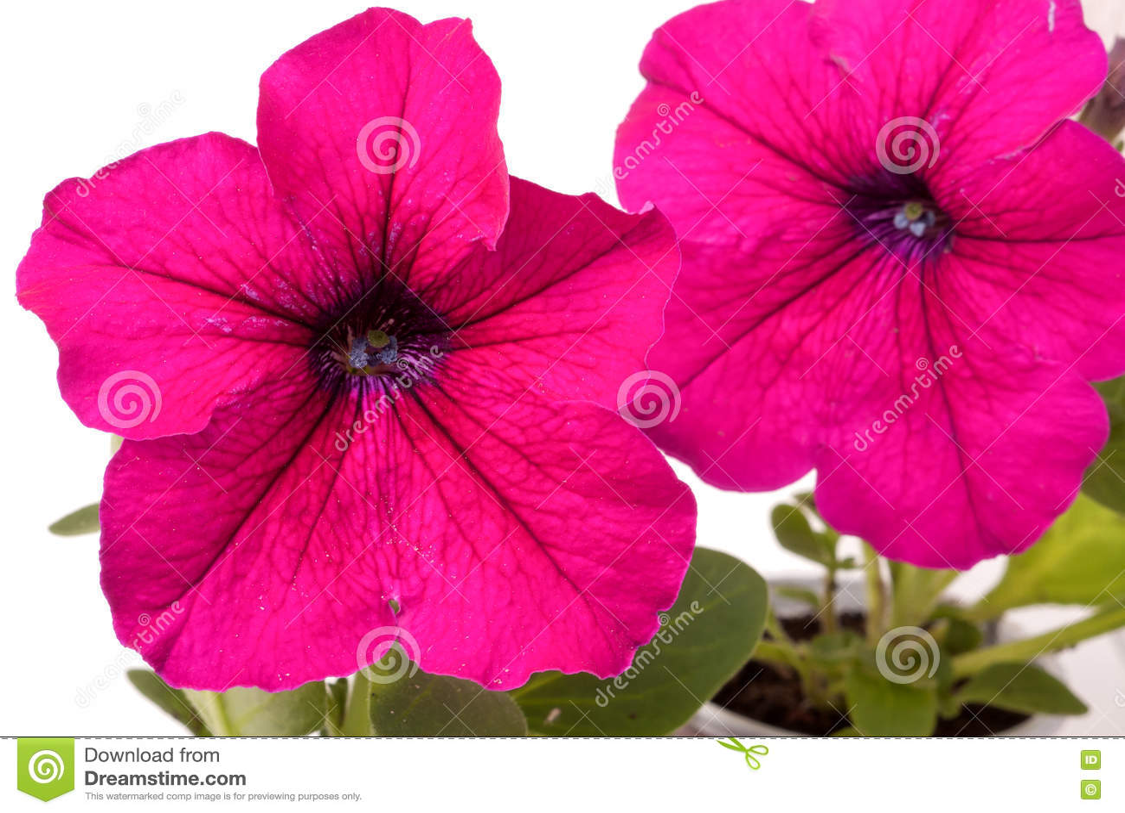 与在一个白色背景特写镜头隔绝的叶子的桃红色喇叭花