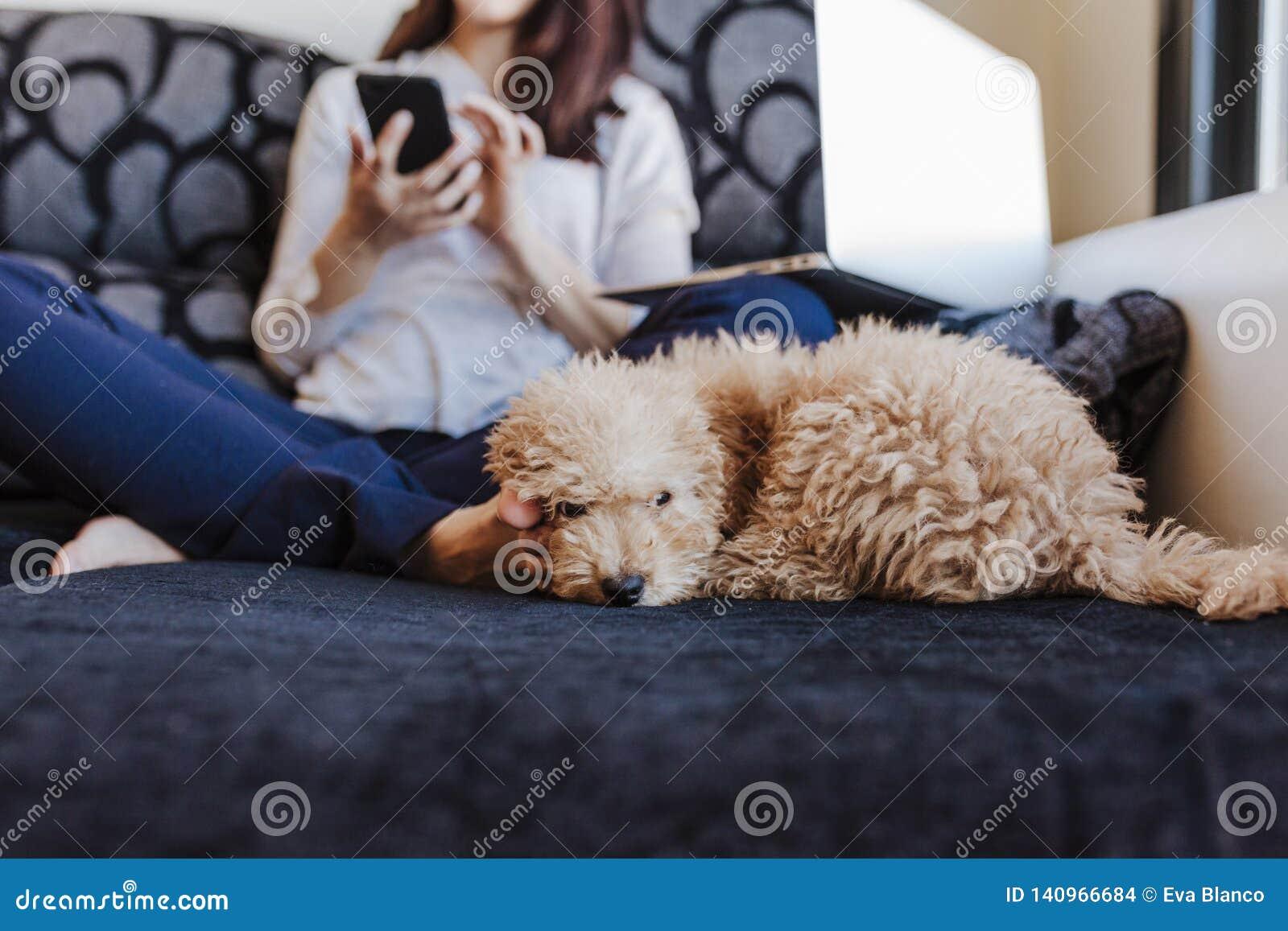 与在家她的年轻女人所有者的逗人喜爱的棕色玩具狮子狗,在沙发,白天