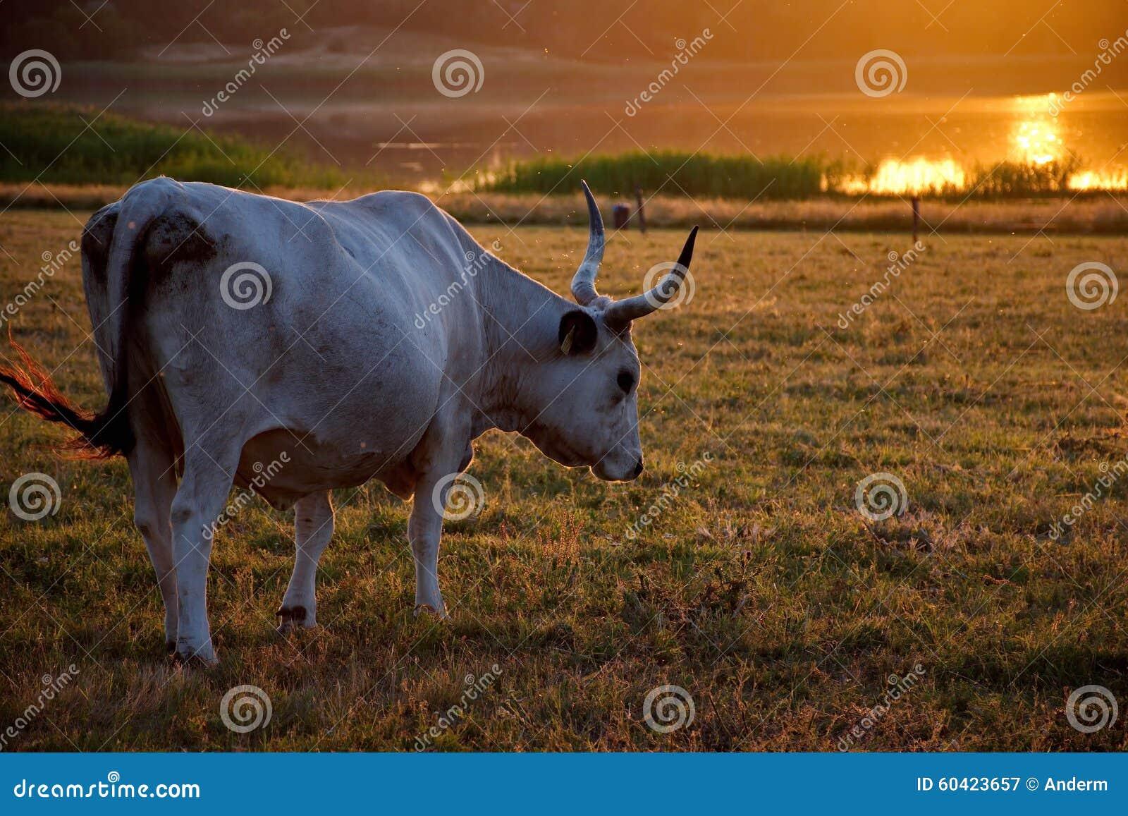 与在日落的白色母牛