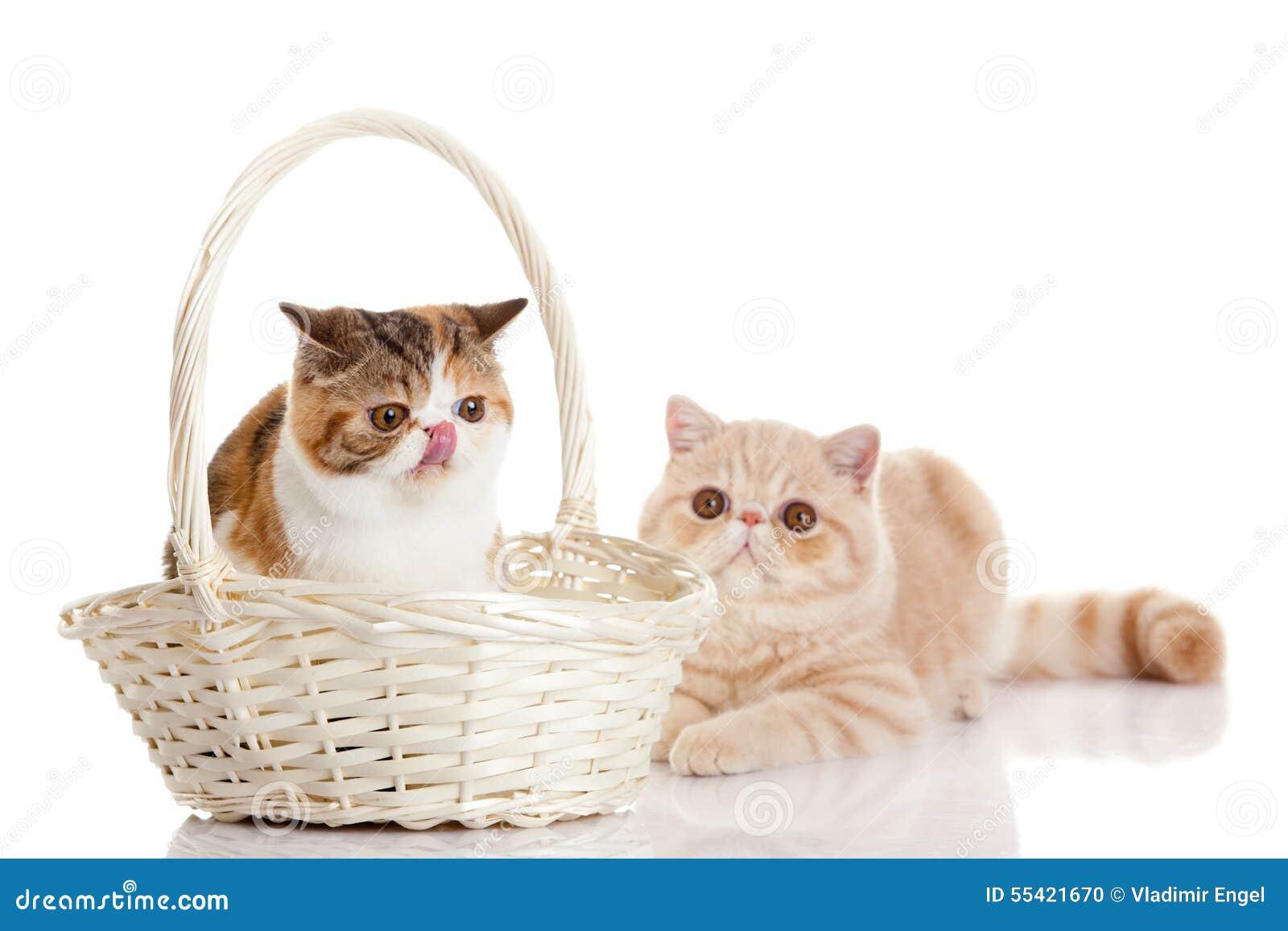 与在白色与大眼睛的背景滑稽的宠物隔绝的篮子的两只猫