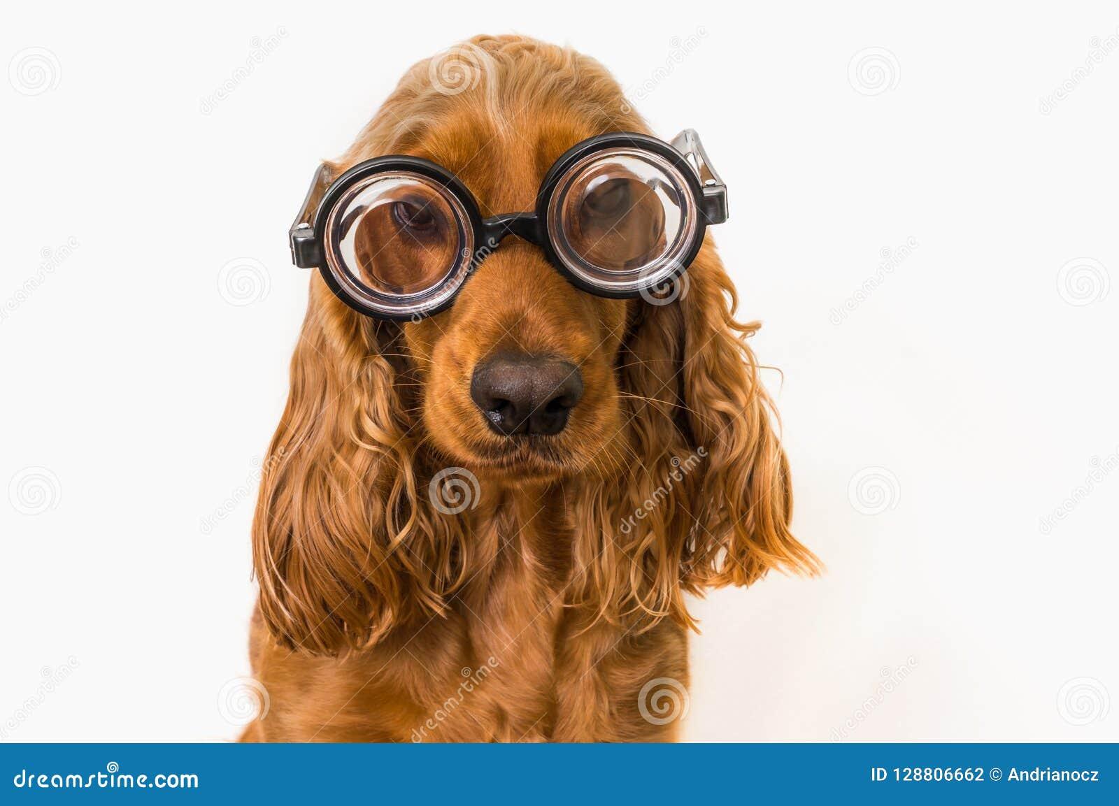 与在白色隔绝的镜片的滑稽的猎犬狗