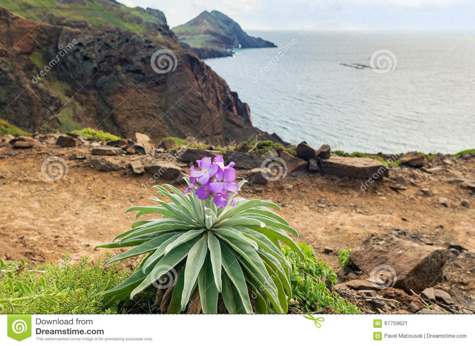 与地方性花Matthiola maderensis,马德拉岛海岛的海岸线视图