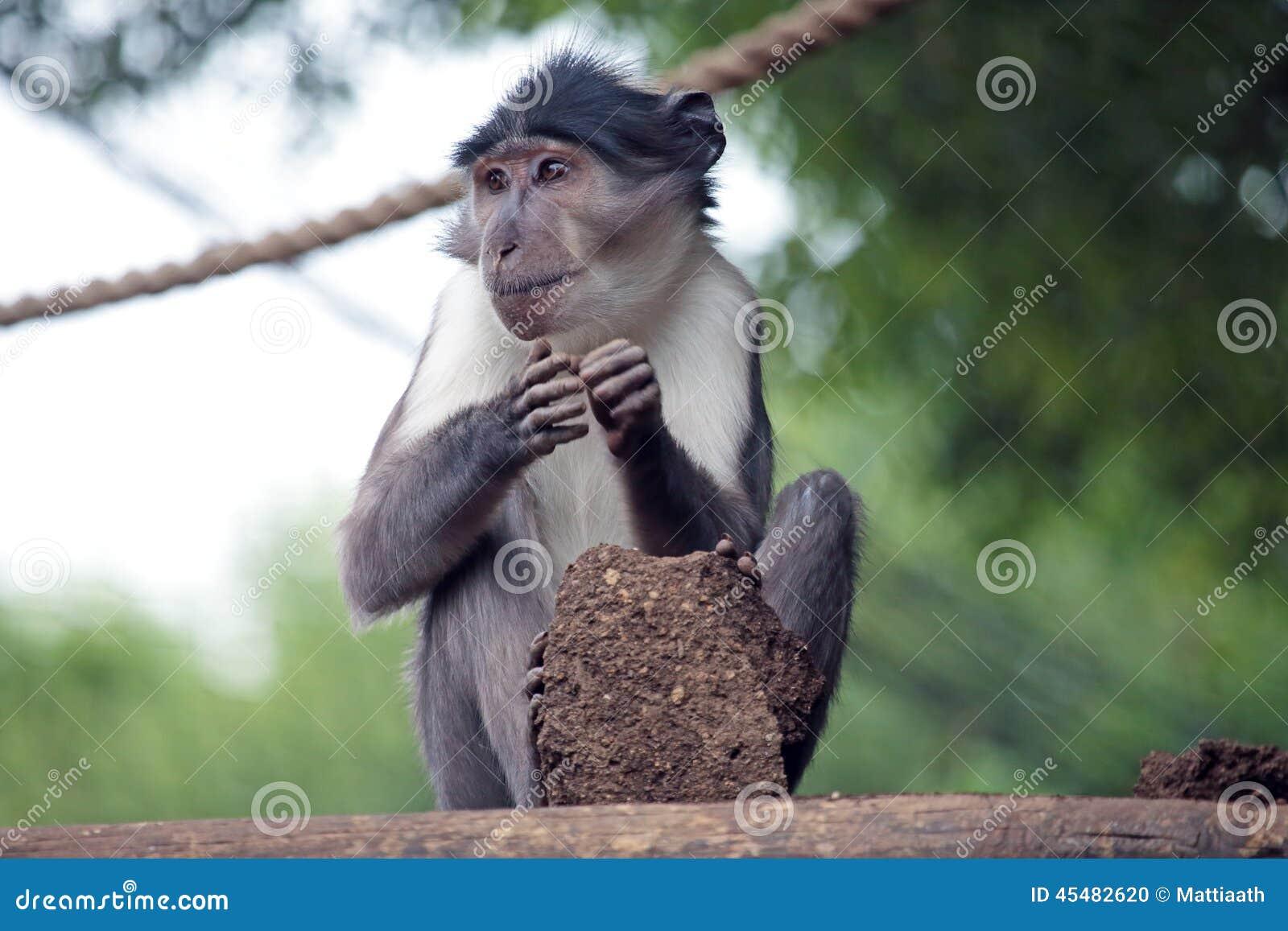 与地球土块的煤烟灰白眉猴