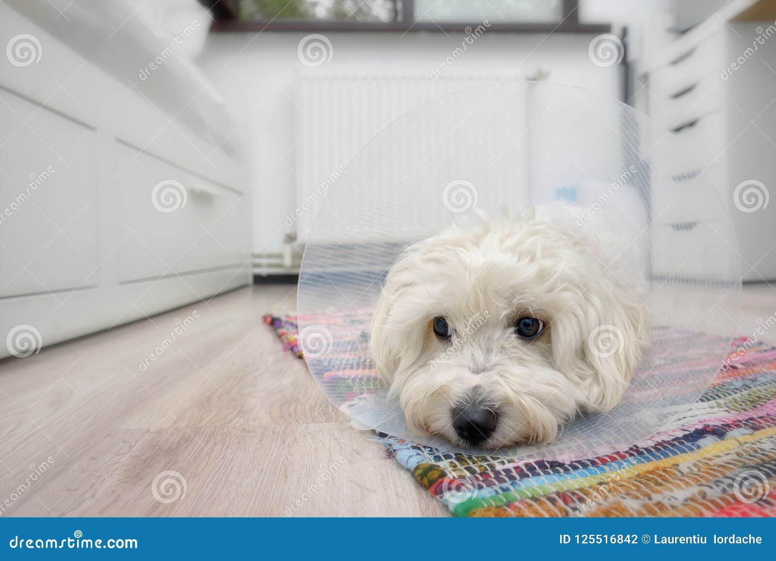与塑料伊丽莎白女王的钉头切断机衣领的马耳他狗