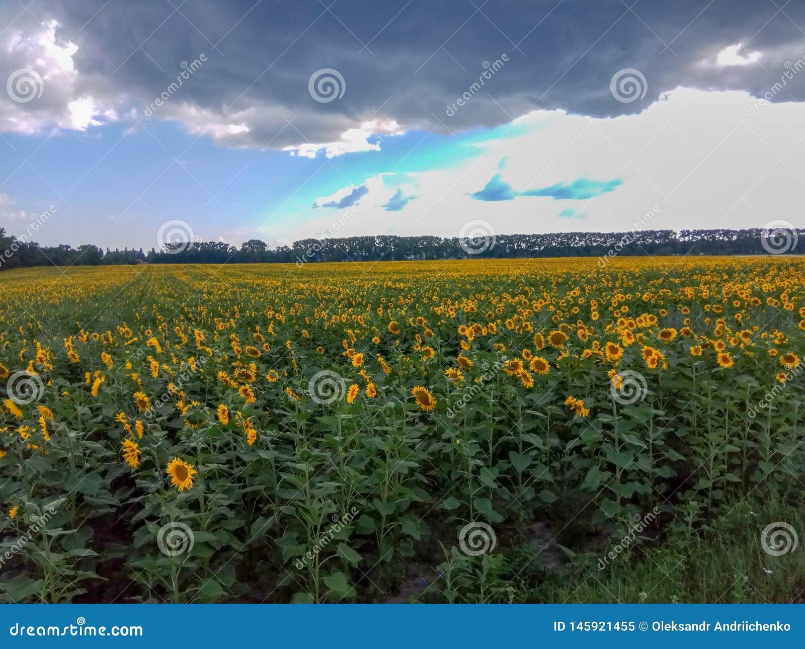 与多云天空蔚蓝的向日葵领域