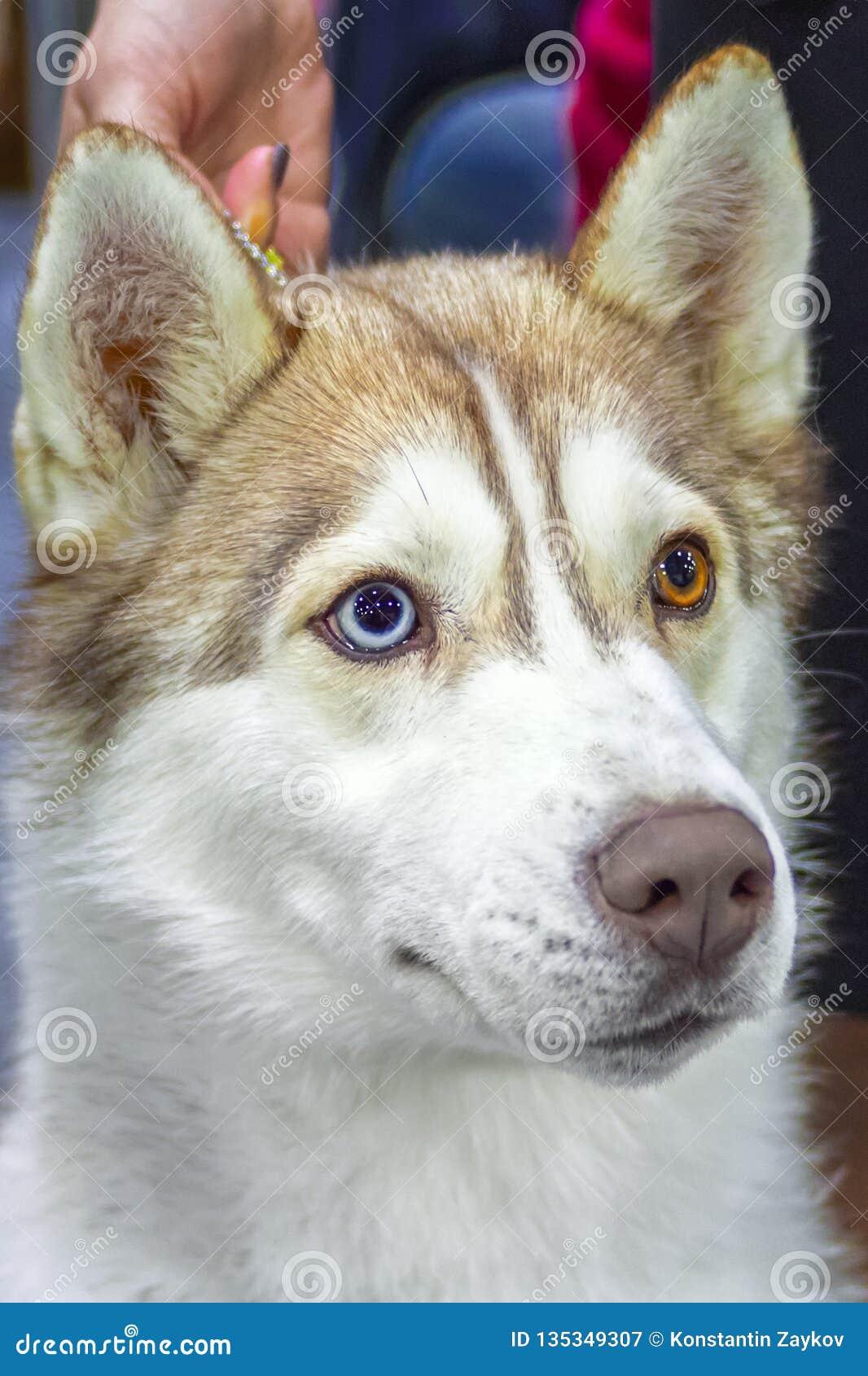 与多彩多姿的包含不同颜色的眼睛的布朗逗人喜爱的西伯利亚爱斯基摩人狗看起来斜向一边,正面图 关闭