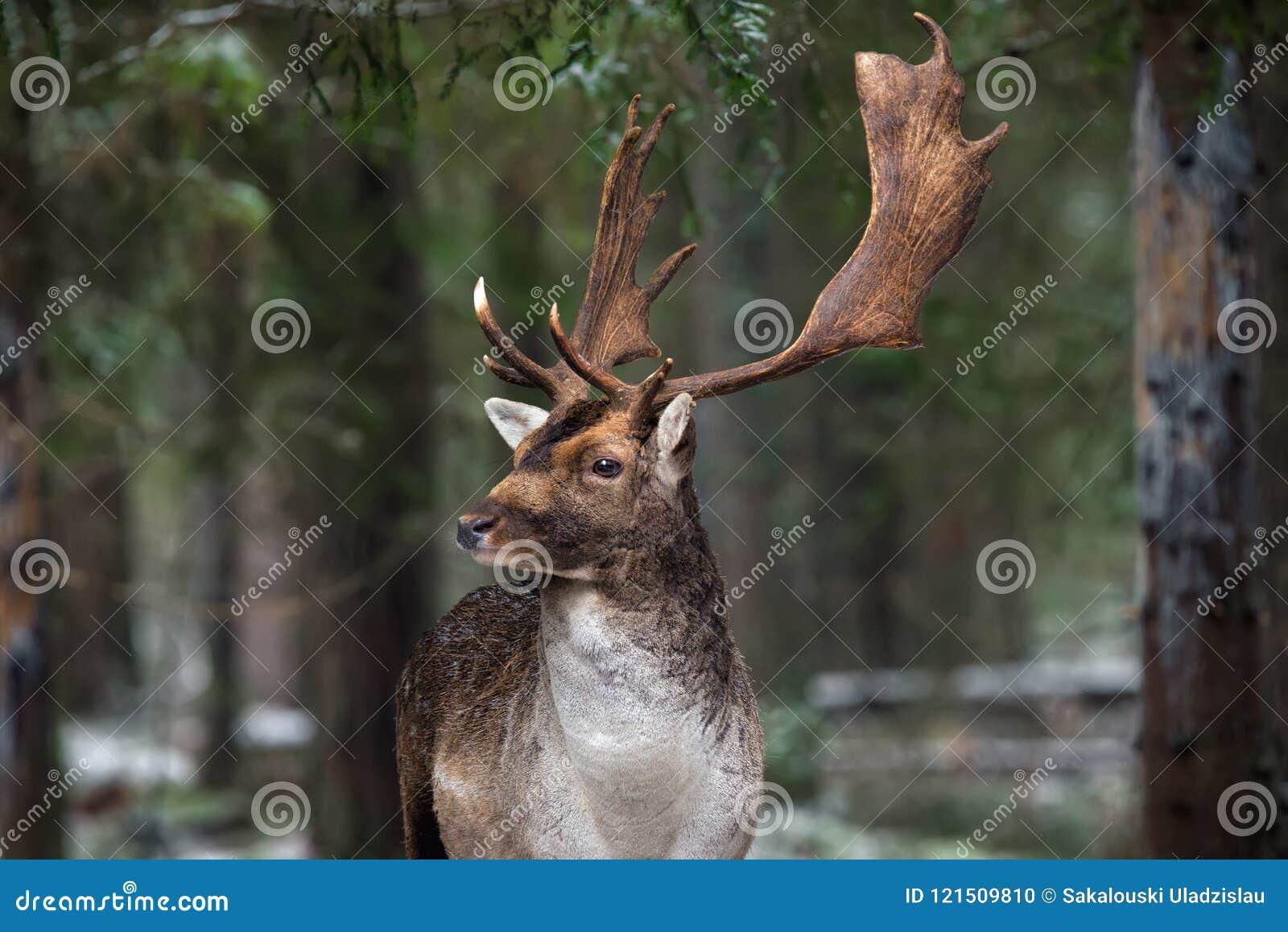 与大垫铁的伟大的成人小鹿,美妙地被转动的头 与鹿雄鹿的欧洲野生生物风景 偏僻的De画象
