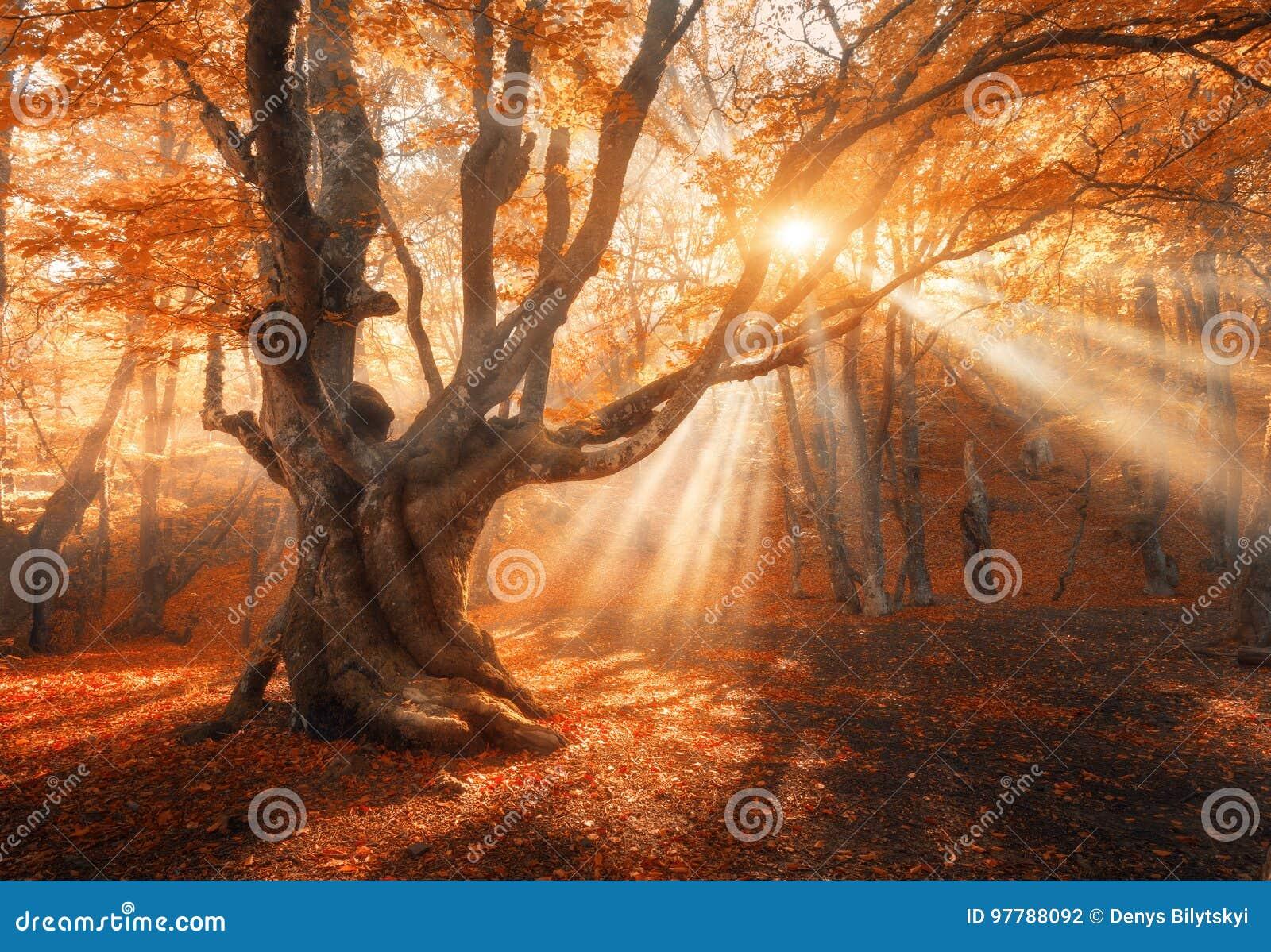 与太阳的不可思议的老树早晨发出光线