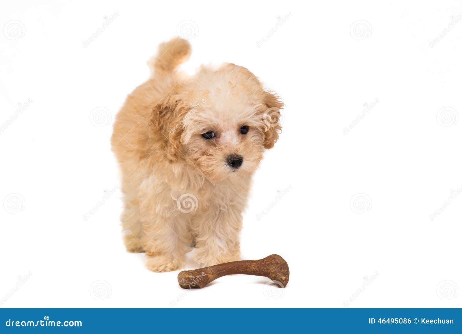 与她的玩具骨头的逗人喜爱的长卷毛狗小狗