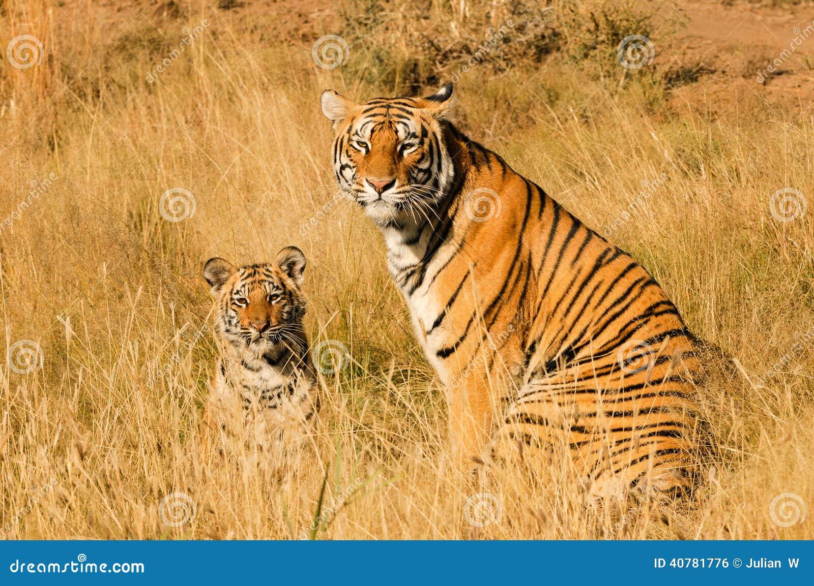 与她的崽的老虎