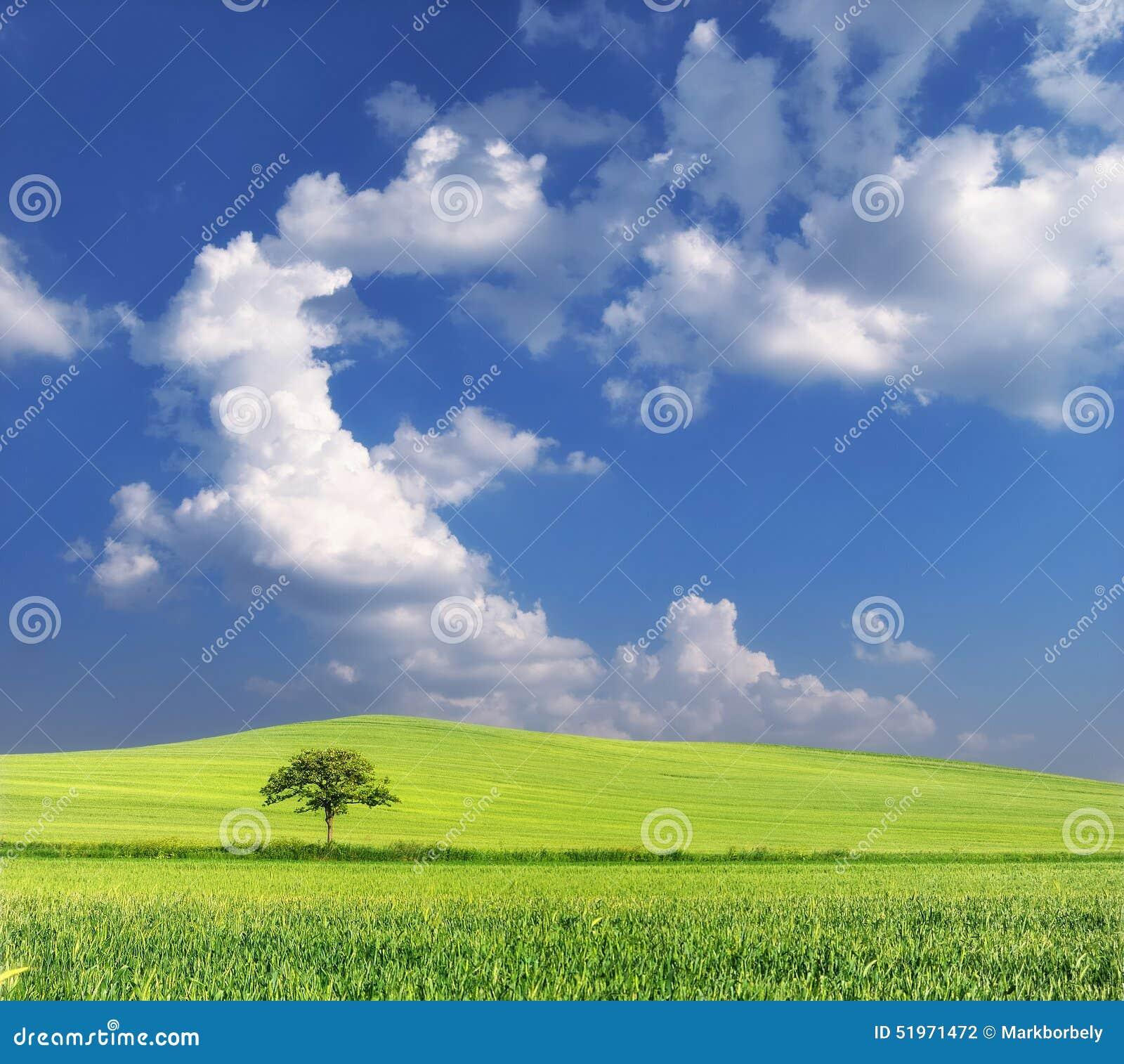 与孤立树和蓝天的麦田
