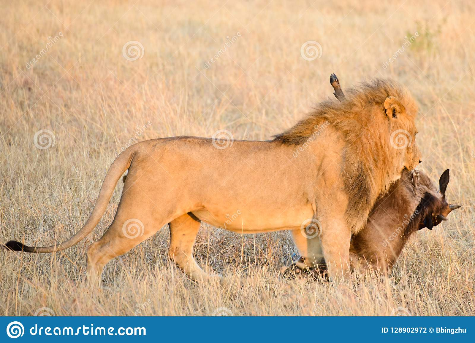 与它的牺牲者的一头公狮子