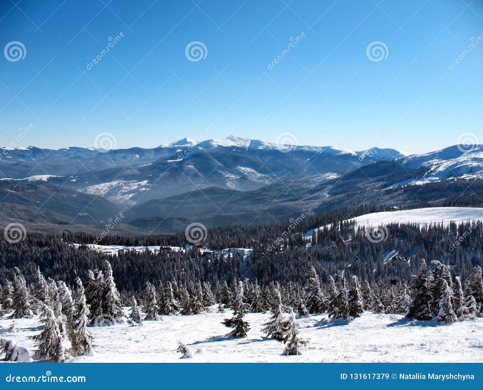 与小山的积雪的山峰在乌克兰包括冷杉木森林喀尔巴汗的冬天风景