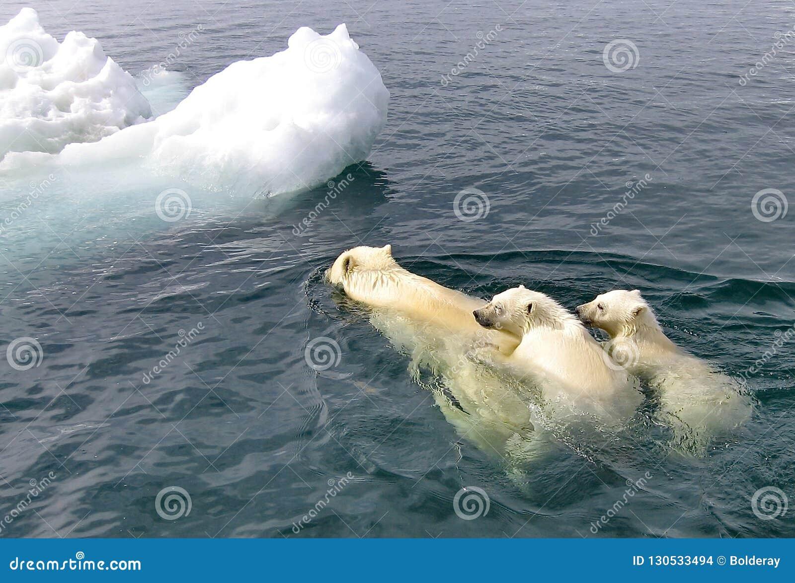 与崽浮游物的白色她熊在白令海 一头北极熊,一头北熊,一umka拉特 熊属类maritimus