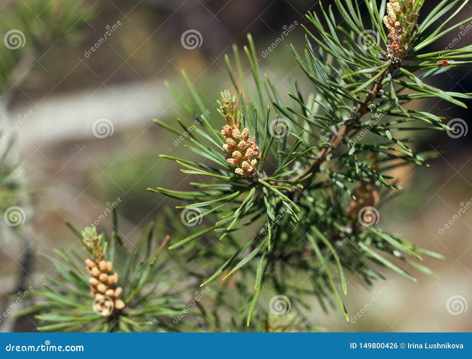 与年轻芽和针的杉木分支